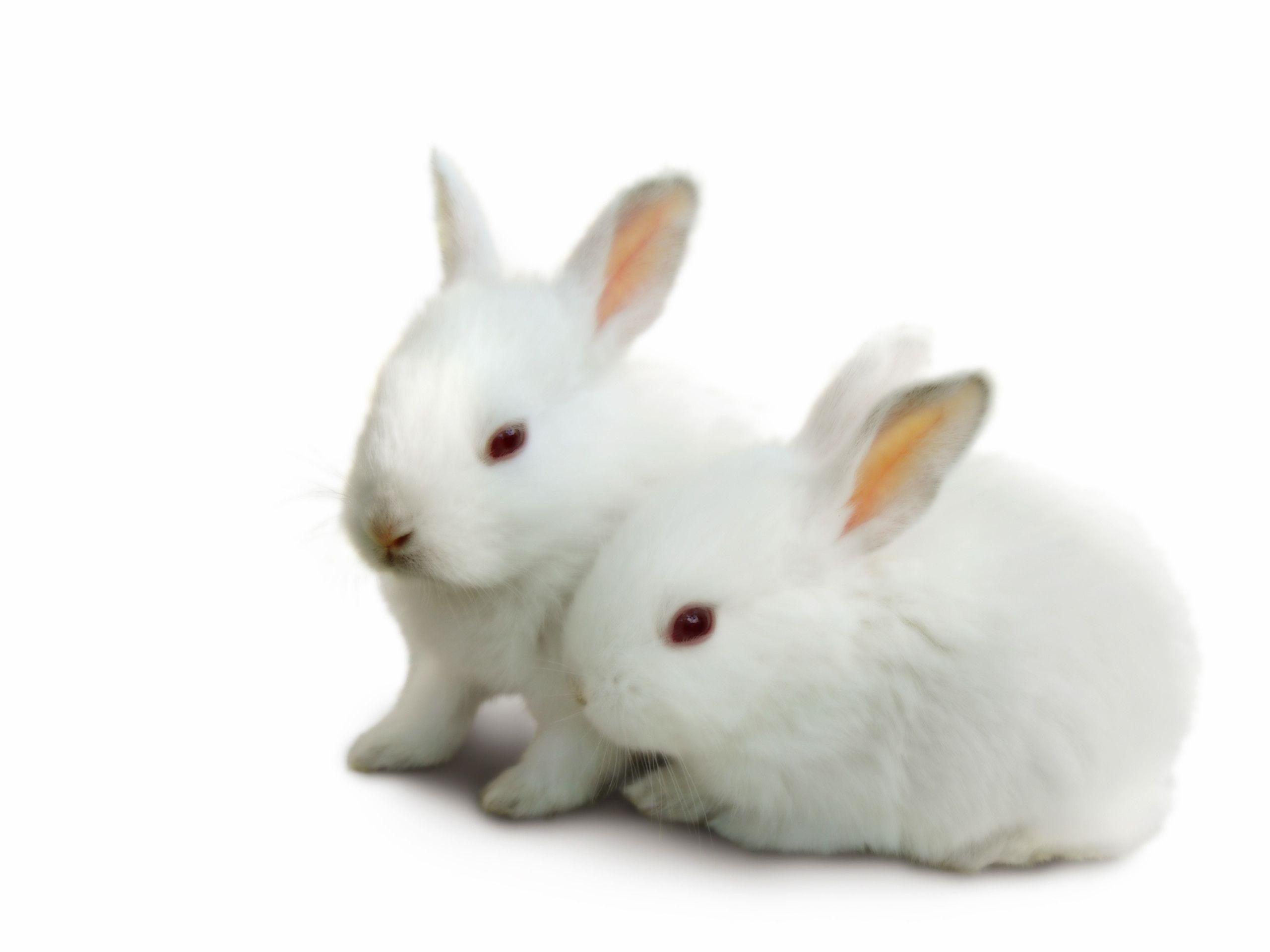 Cute White Rabbit Wallpapers For Desktop: Baby Bunny Wallpaper Desktop