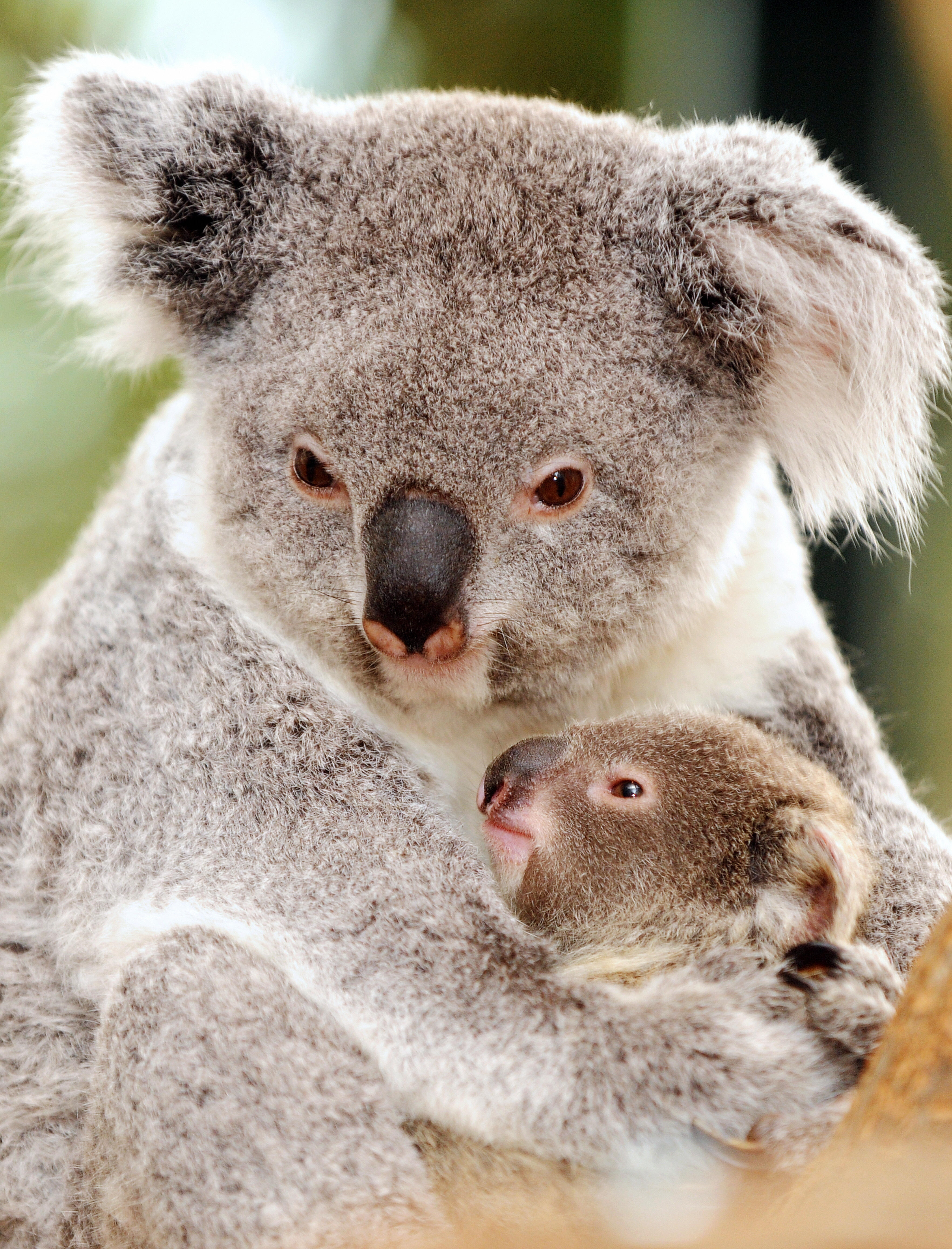 koala bear Koala Bear Mother and Baby WallPaper HD 3527x4625