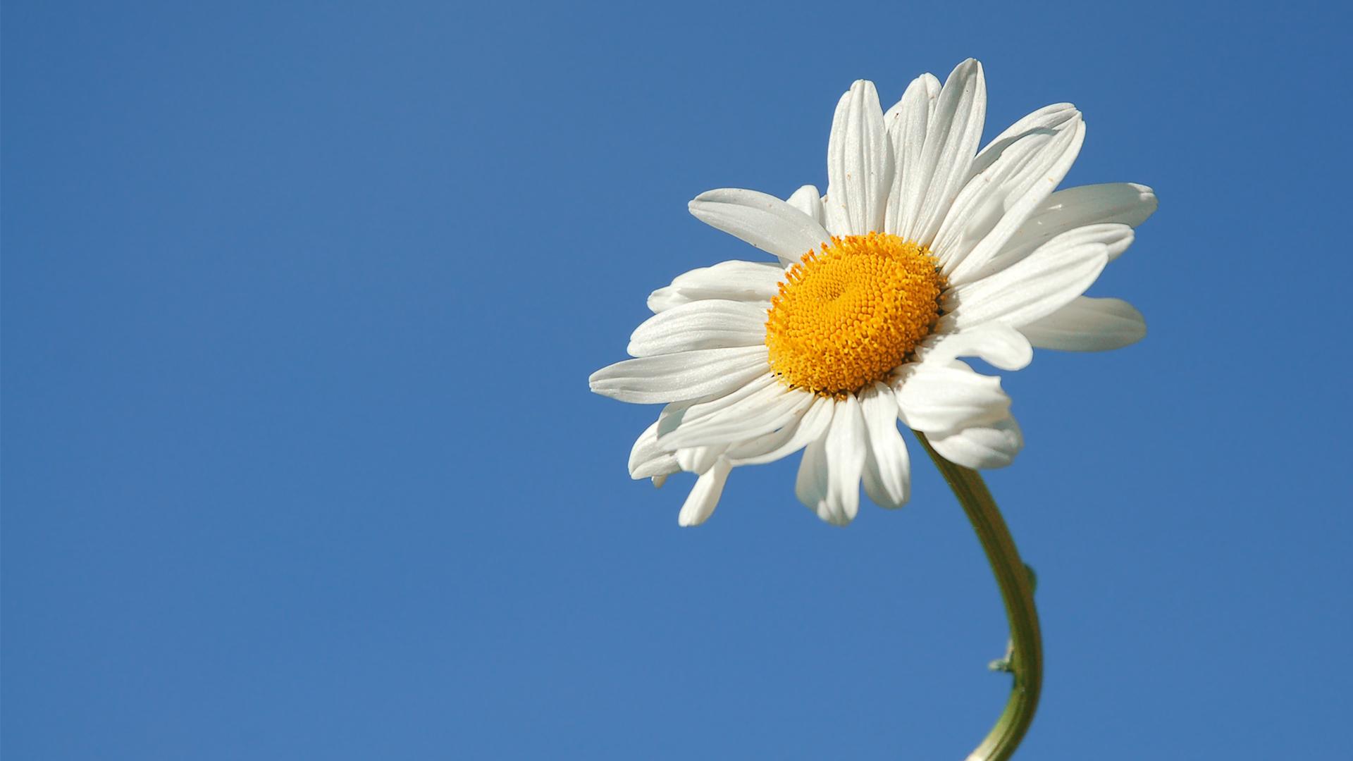 Wallpaper daisy flower sky summer wallpapers flowers   download 1920x1080