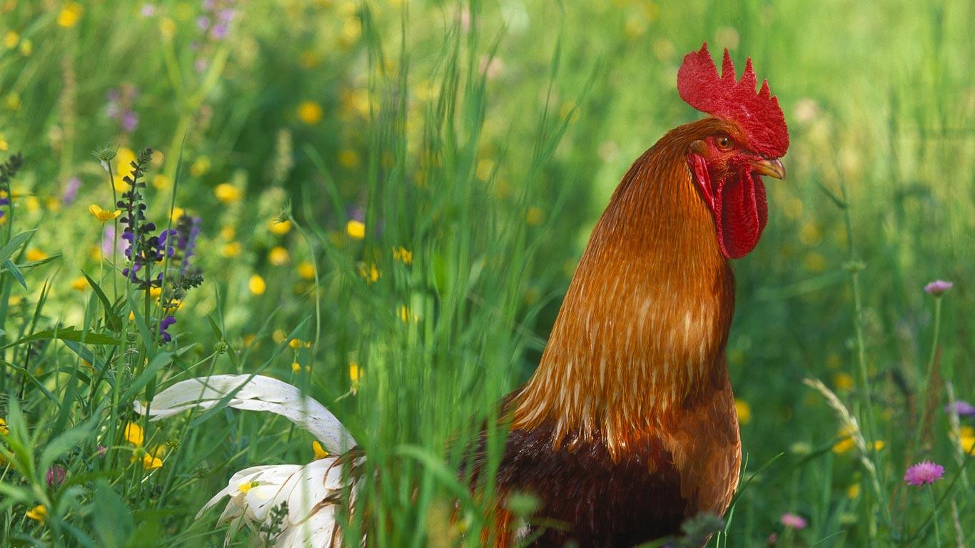 Bing Images   Red Junglefowl Rooster   Coq bankiva ou sauvage Gallus 1366x768