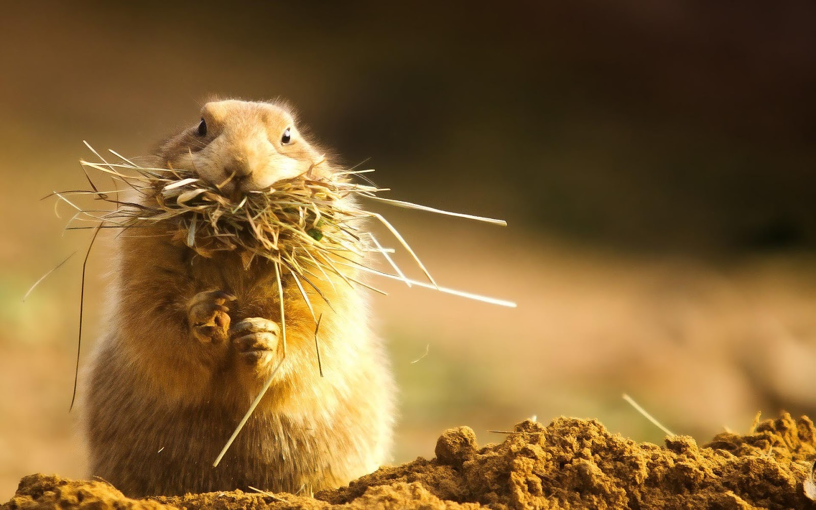 Wallpaper of a hamster with hay and grass in its mouth HD hamsters 1600x1000