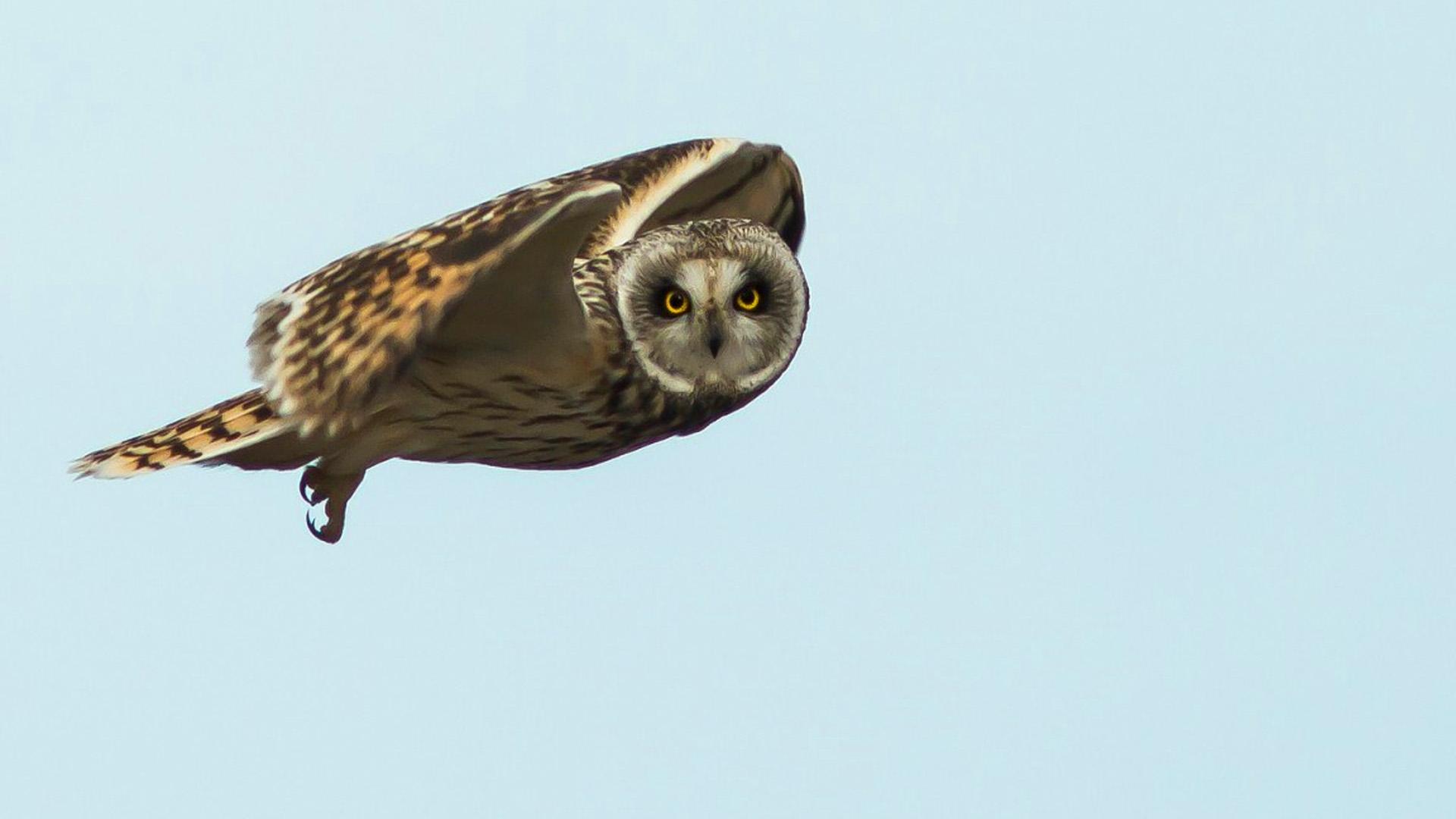 Flying Owl 1920x1080