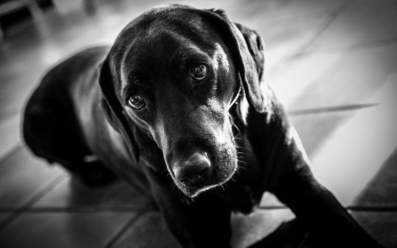 Wallpaper Labrador black and white   My HD Wallpapers 800x500