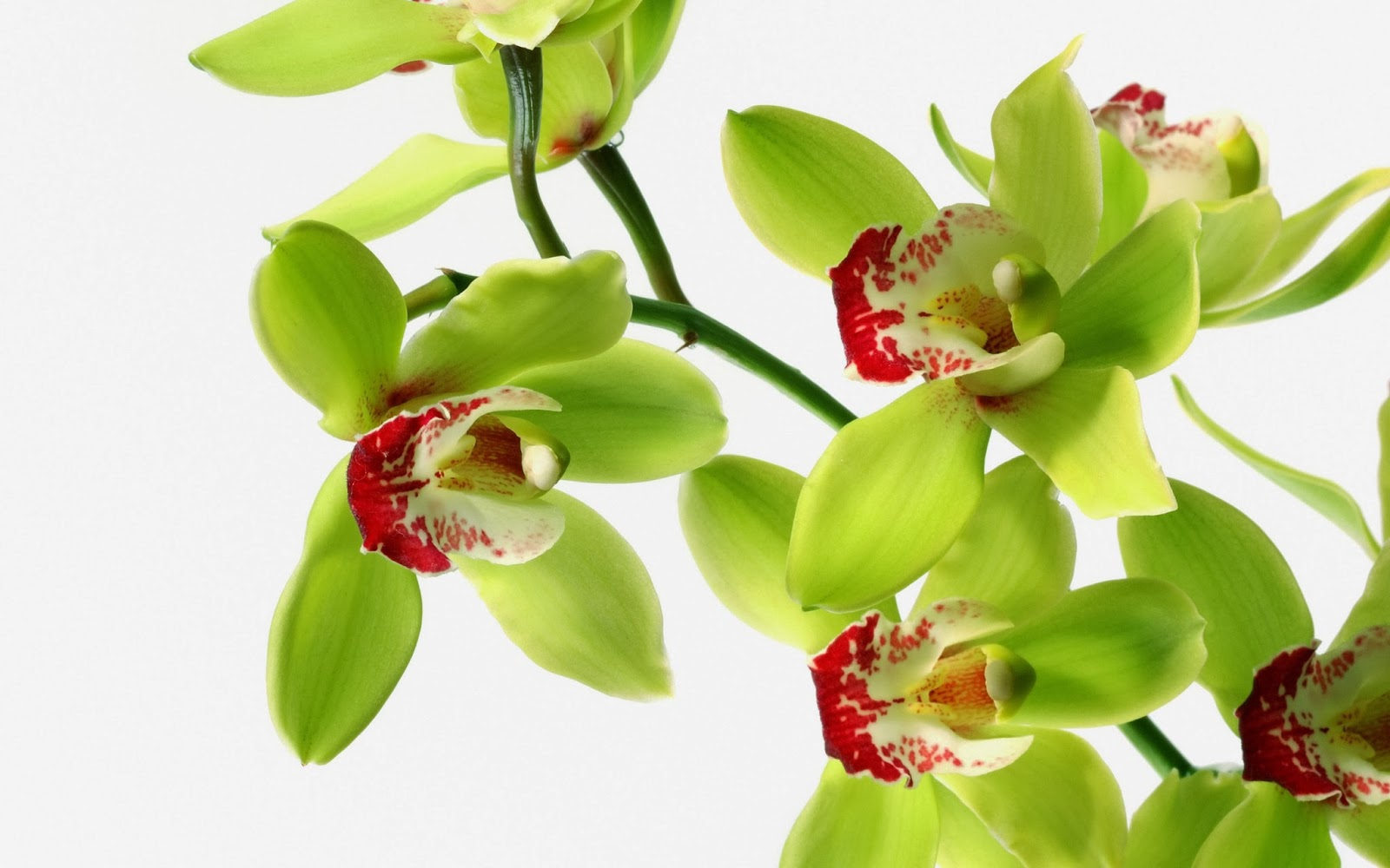 Green orchid Flowers wallpaper   beautiful desktop wallpapers 2014 1600x1000