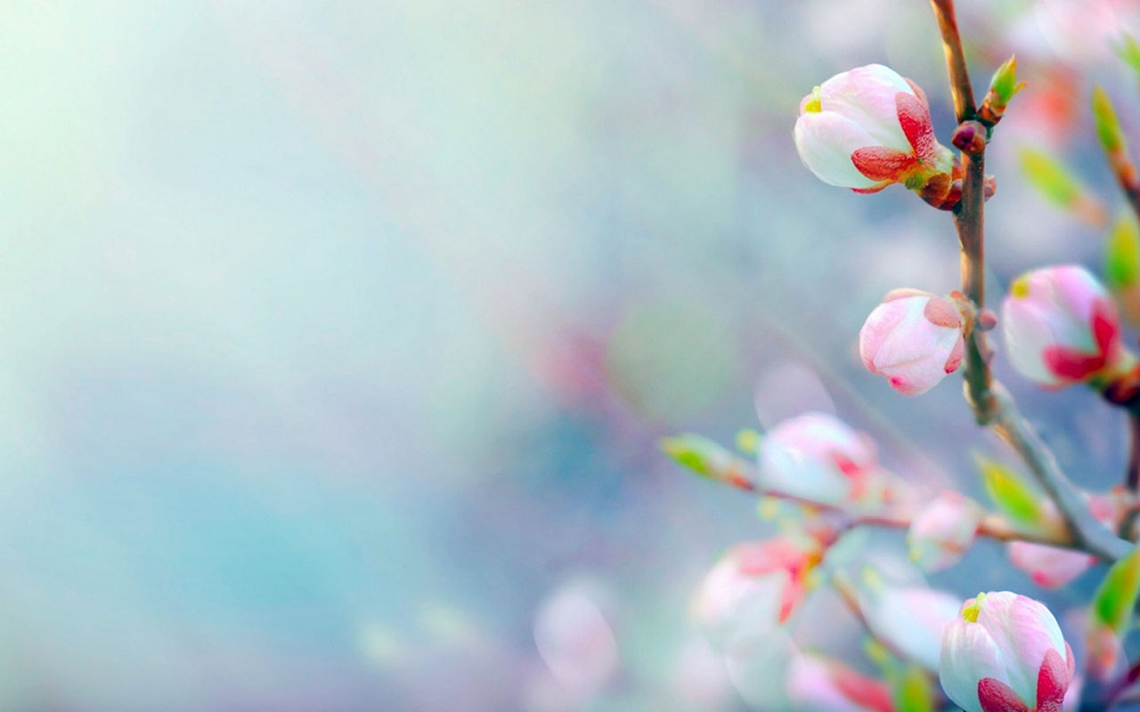 spring branches bud hd wallpapers 10 spring branches bud wallpaper bud 1280x800