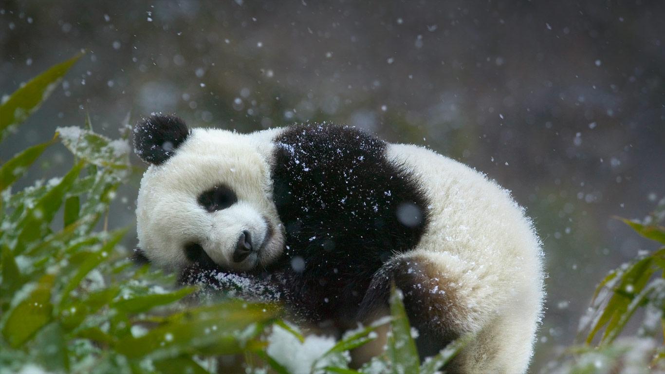 Bing Images   Sleepy Panda   2014 Microsoft 1366x768