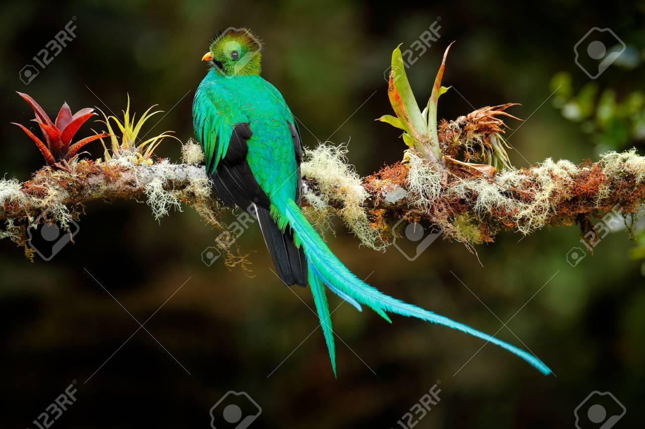 Resplendent Quetzal Pharomachrus Mocinno From Savegre In Costa 1300x866