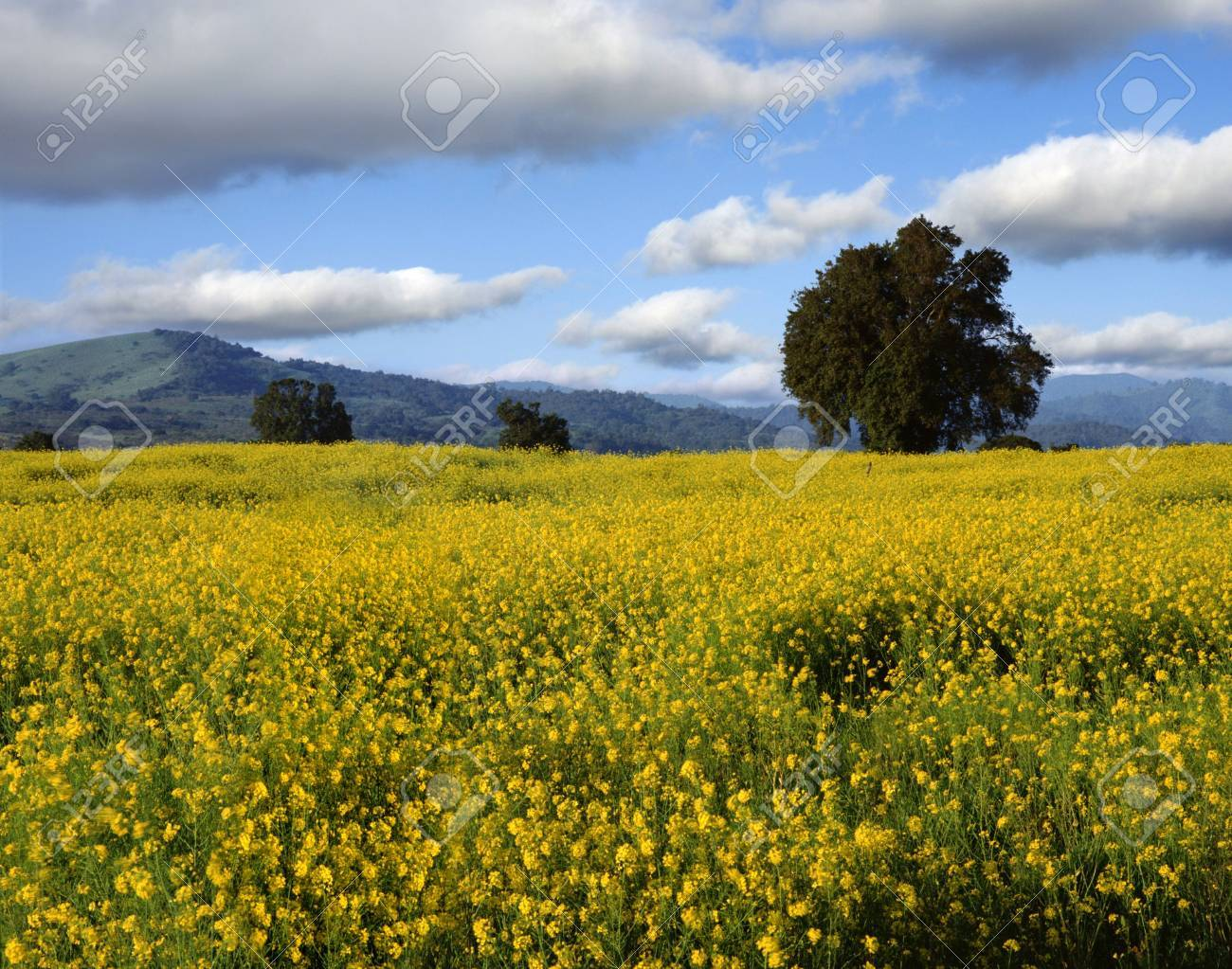 A Placid Spring Country Landscape With Yellow Flowers In Front 1300x1023
