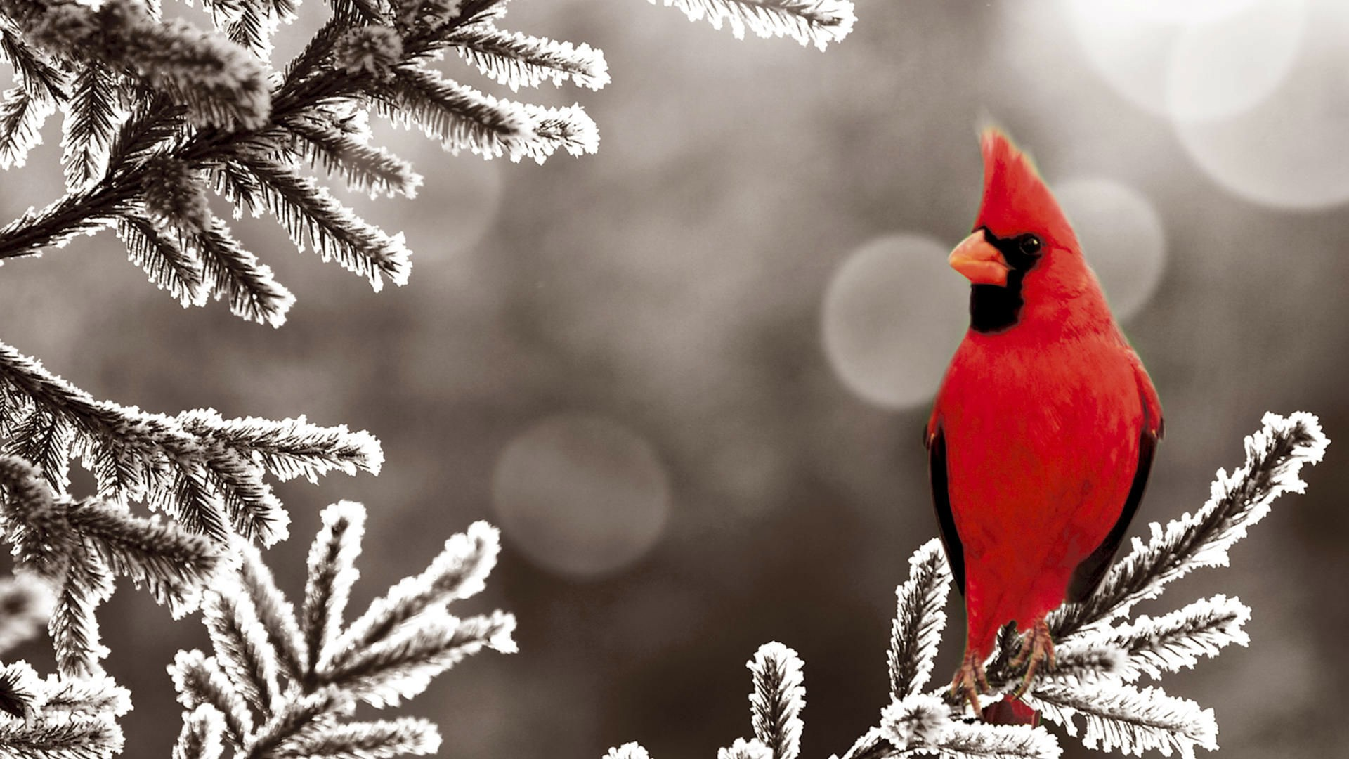 sur branche sapin gele wallpaper birds cardinal red frost northern 1920x1080