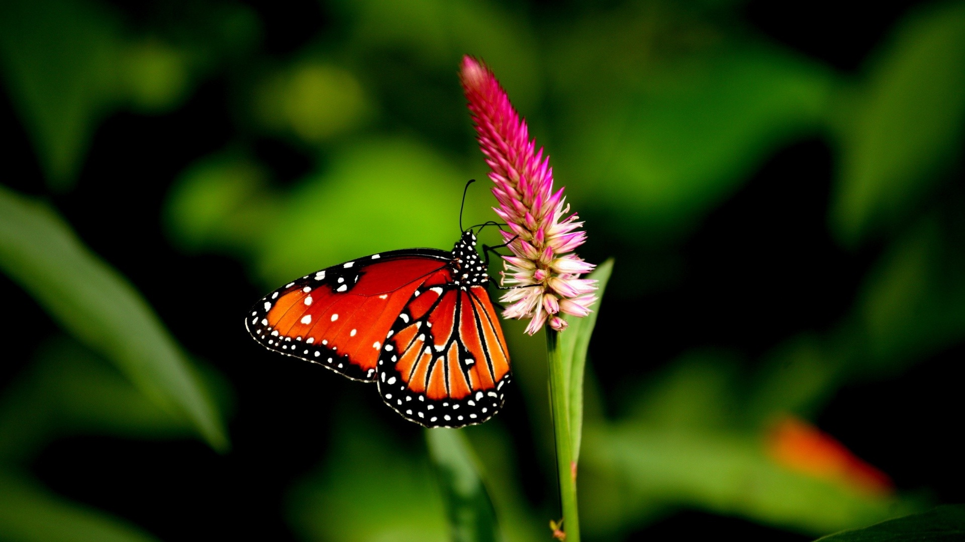 Cute butterfly nice HD wide wallpaper HD Wallpapers Rocks 1920x1080
