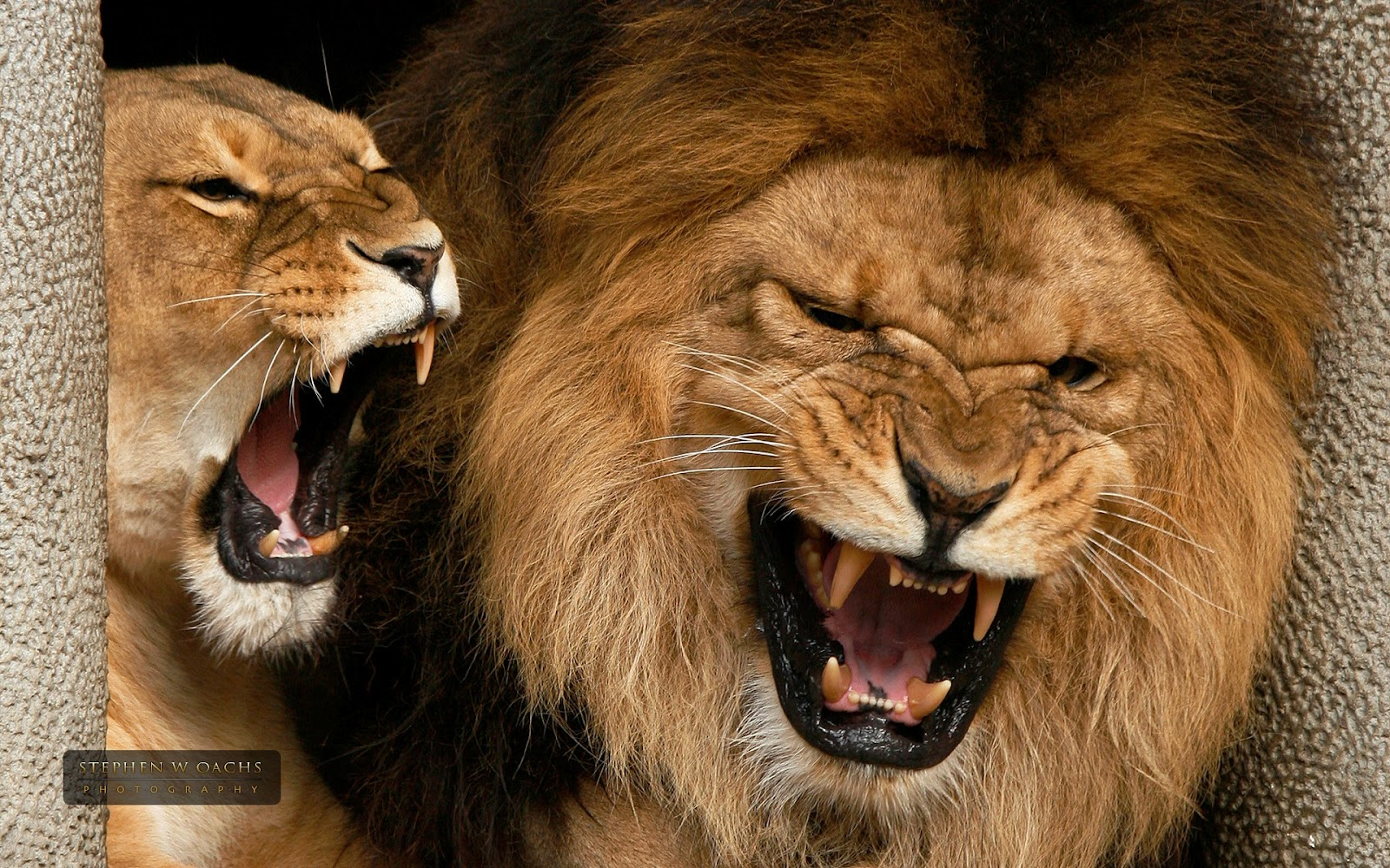 Lion HD Wallpapers African Lions Pictures   HD Animal 1600x1000