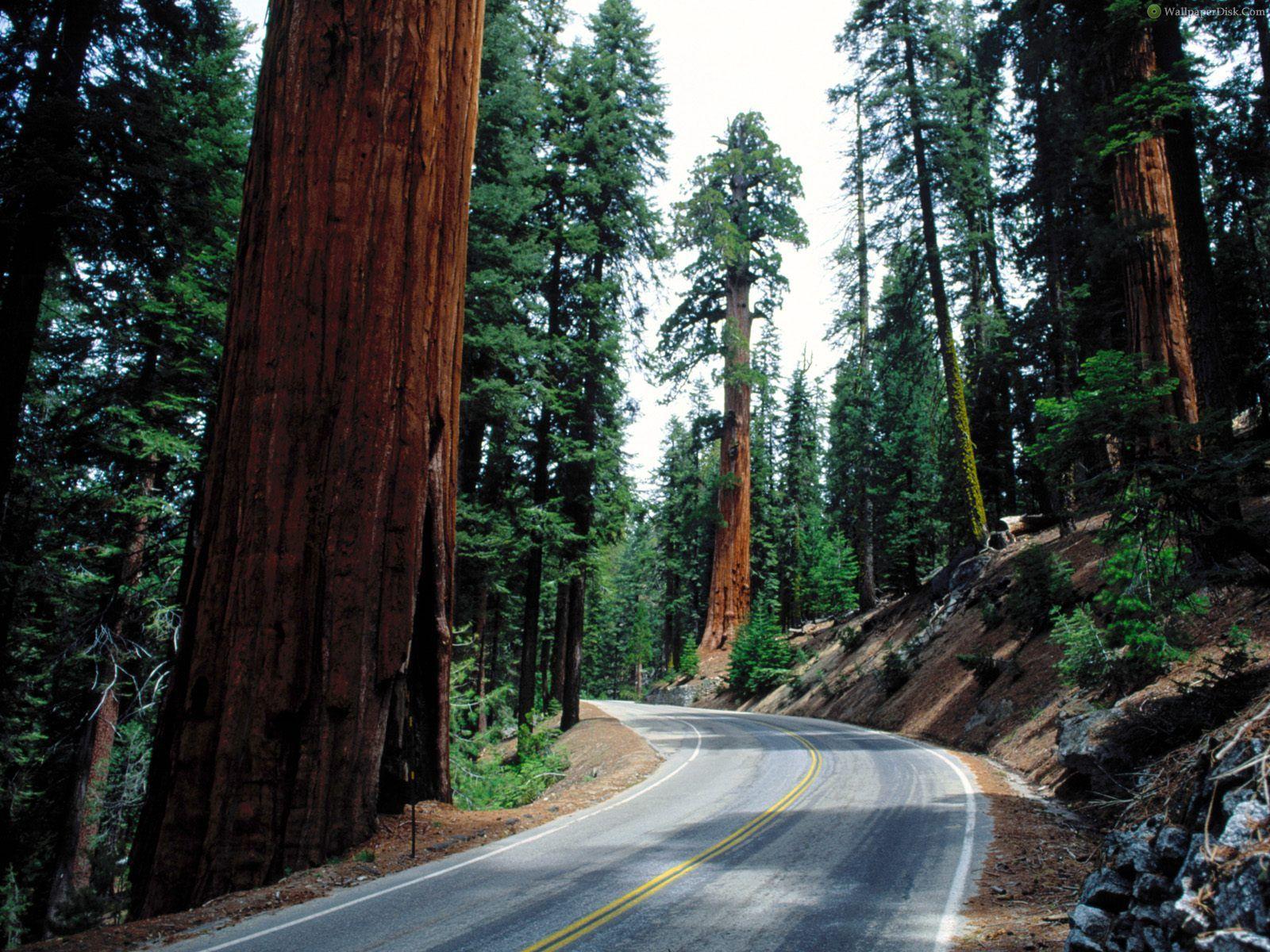 Download Redwood Road Sequoia National Park Wallpaper 1600x1200