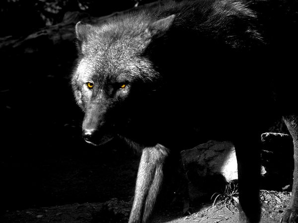 The Black Wolf by Twilight Gal by TheWolfPack 600x450