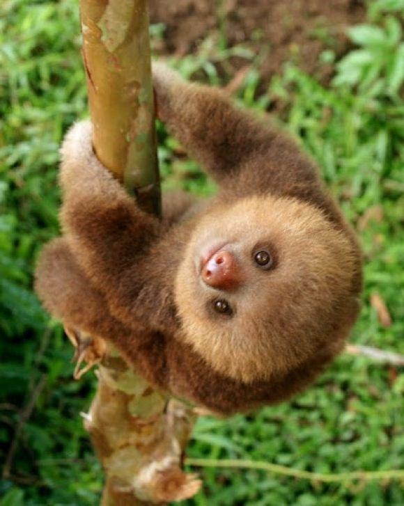 Free Download Baby Sloth Ekk So Cute Baby Sloth D Pinterest 580x727 For Your Desktop Mobile Tablet Explore 45 Cute Sloth Wallpaper Funny Sloth Wallpaper Free Wallpaper Sloth Hd Sloth Wallpaper