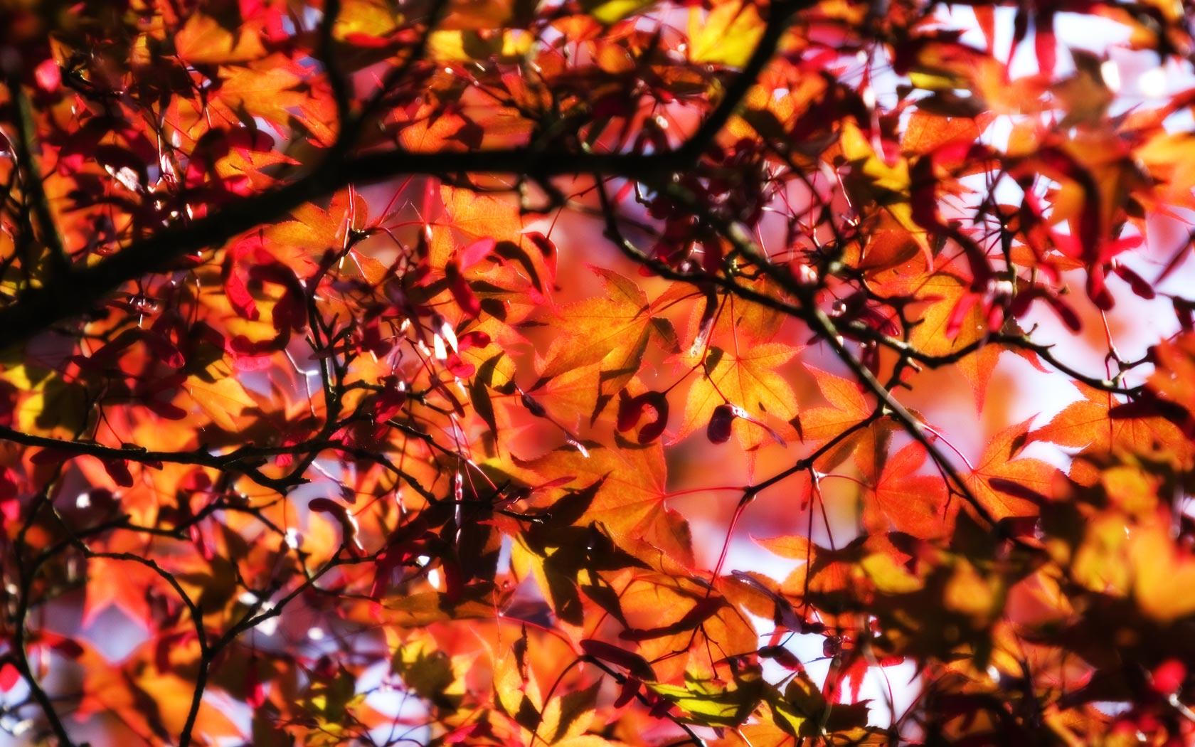 Fall Leaves Wallpapers for Desktop wallpaper wallpaper hd 1680x1050