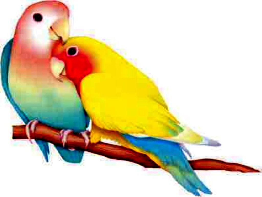 73 Lovebirds Wallpapers On Wallpapersafari