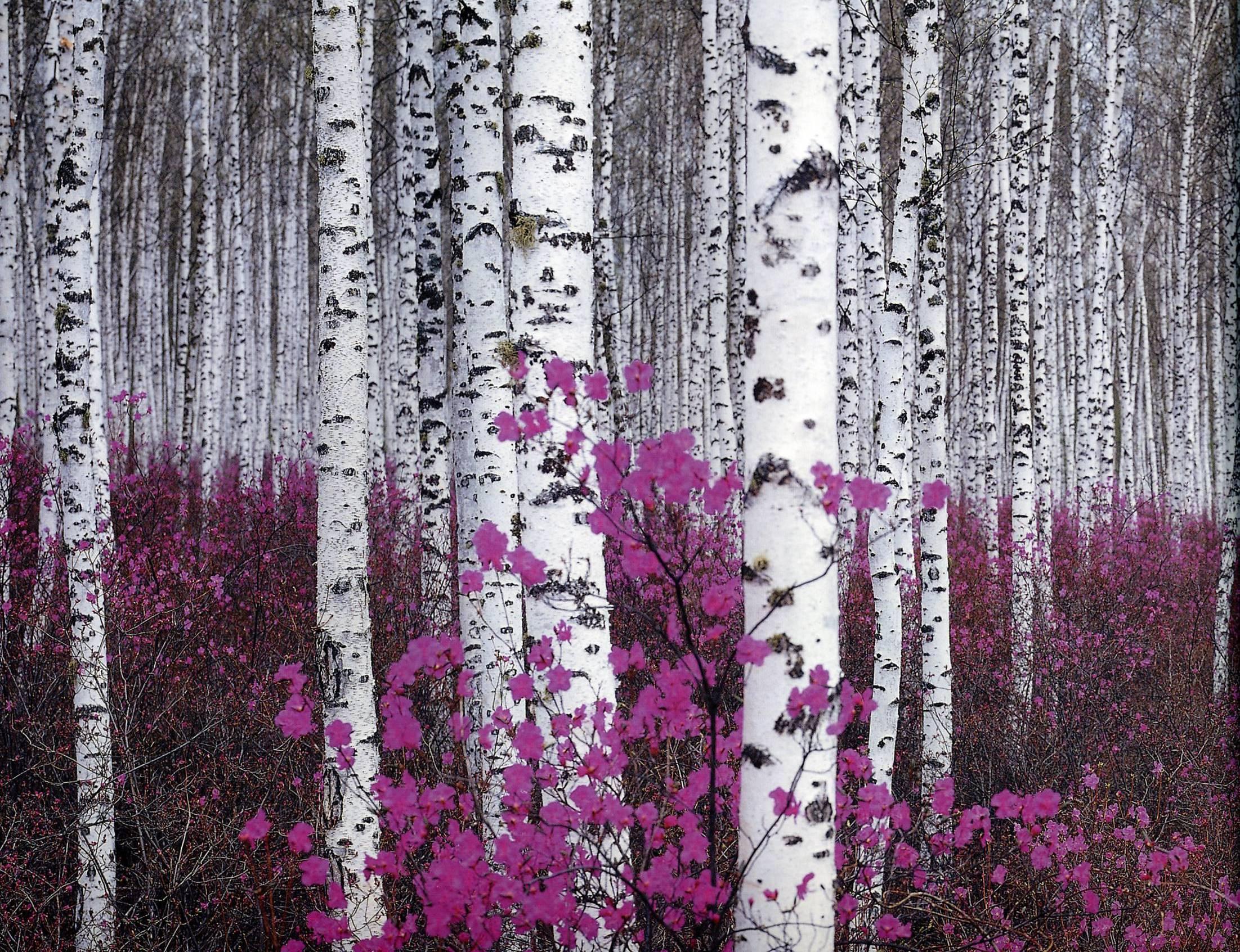 Birch Woods Wallpaper Wallpapersafari