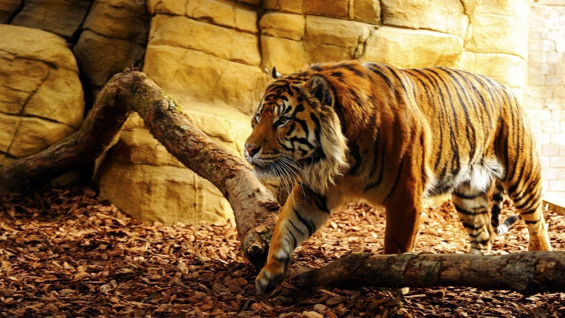 Pin by Brenda Mas on 4K Wallpapers in 2019 Tiger wallpaper 1920x1080