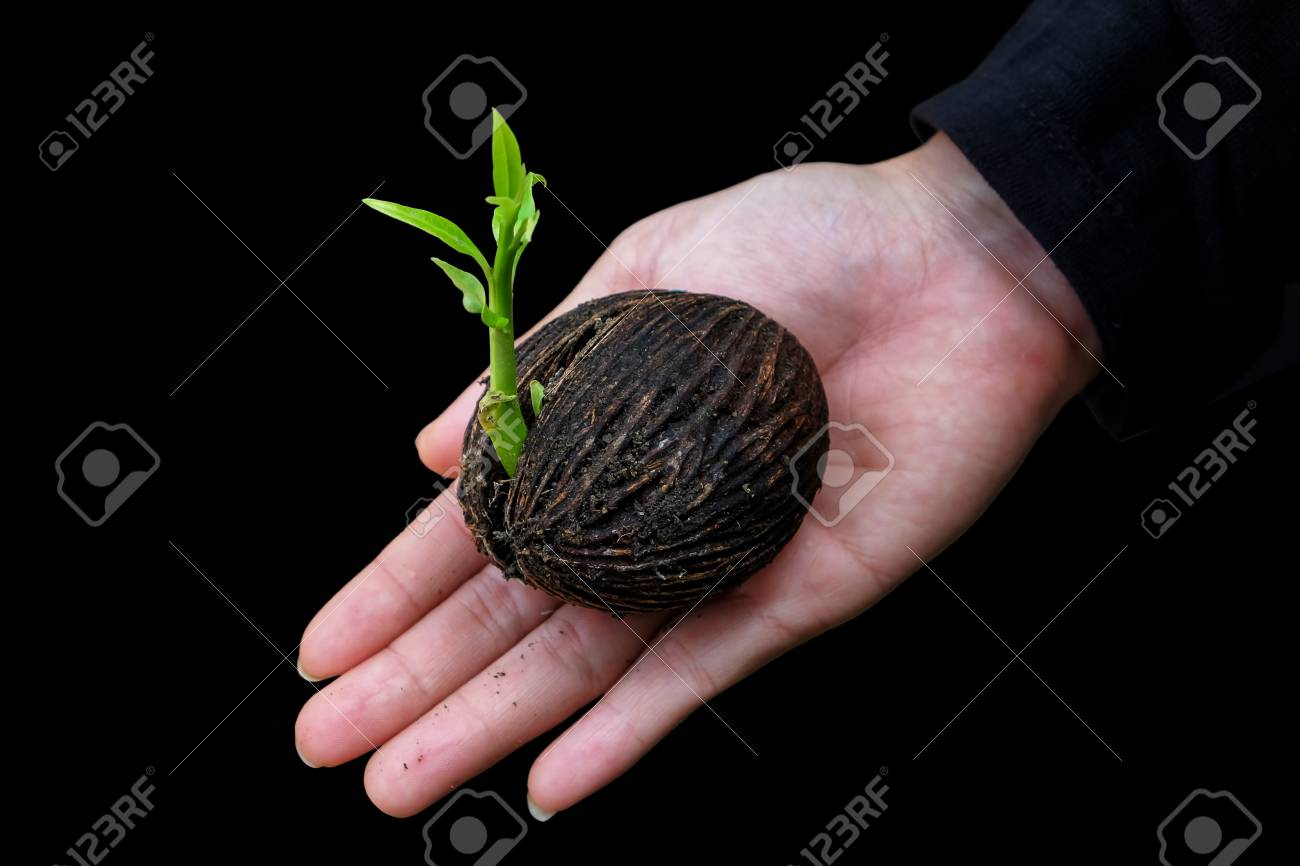 Plant Seed Growing Ing The Lady Hand On ISolated Black Background 1300x866