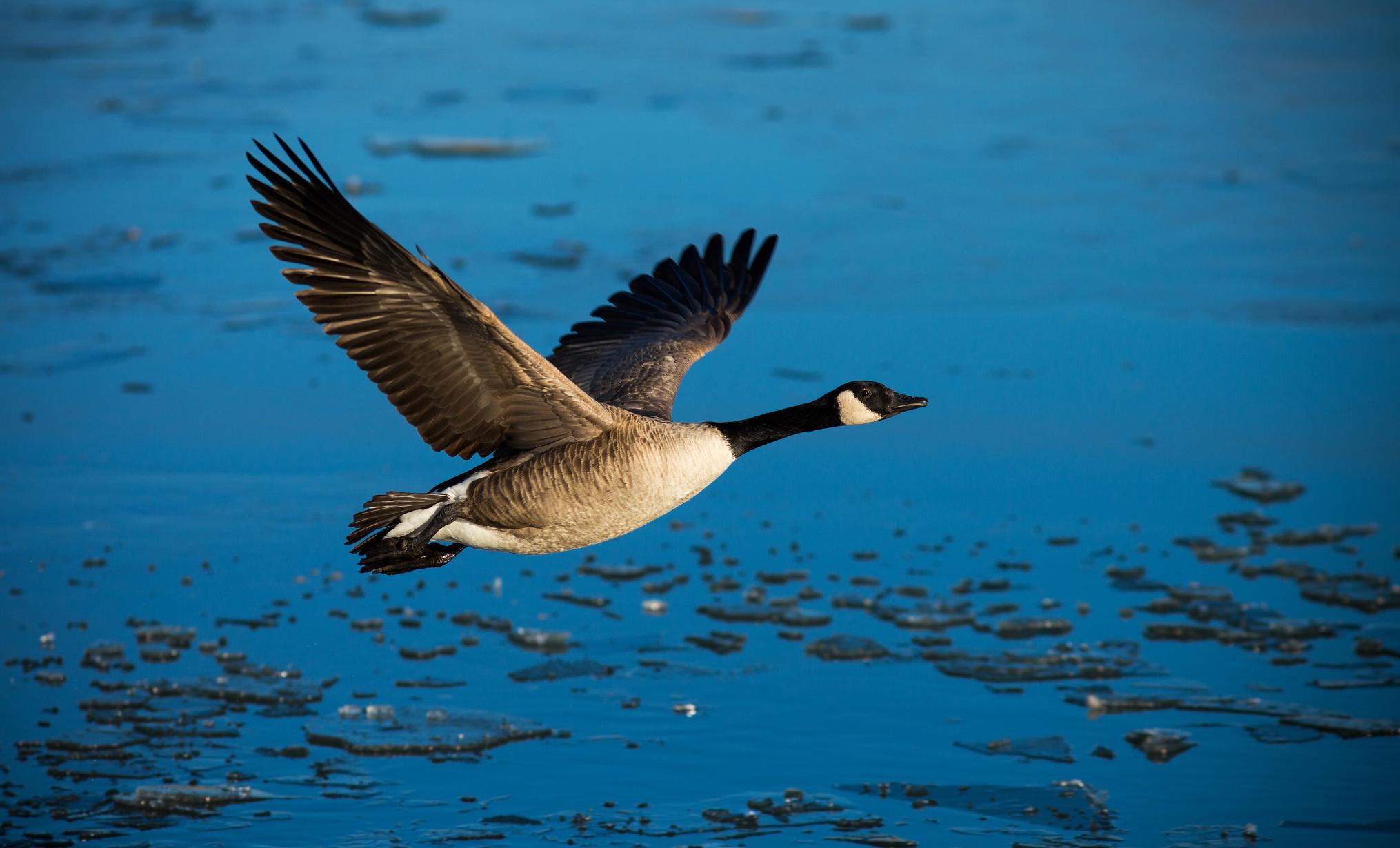 Wallpaper bird duck wings flying freedom water wallpapers animals 2030x1230