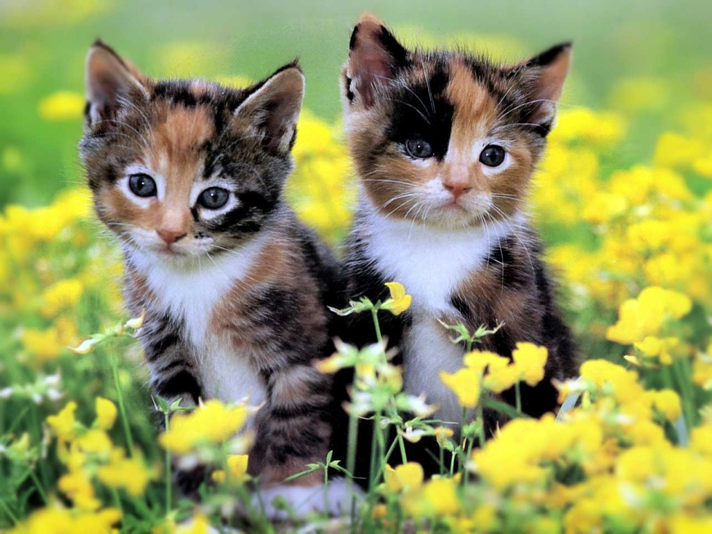 Kittens Wallpapers Animals Library 1024x768