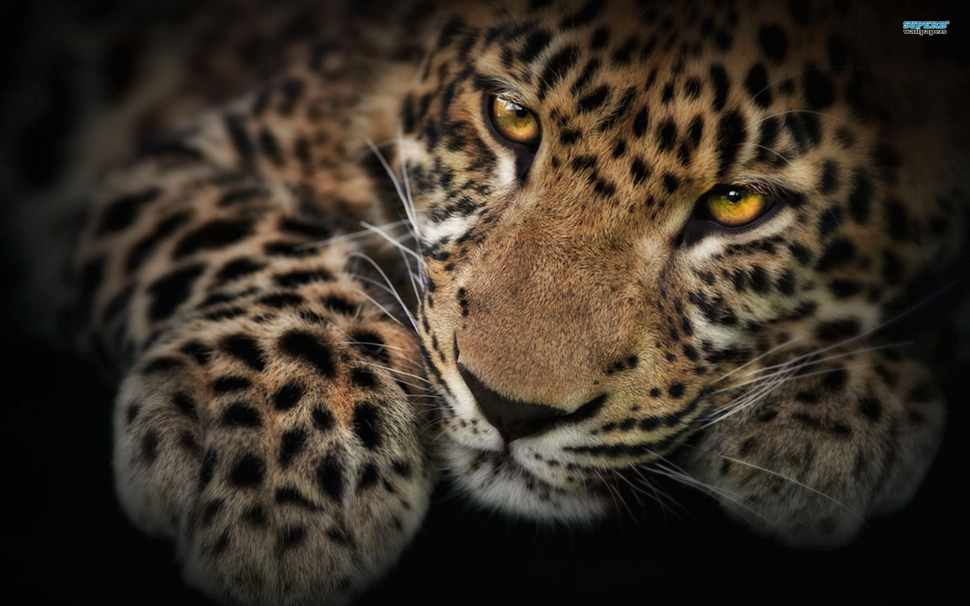 Leopard Wallpaper Full HD For Desktop 1920x1200