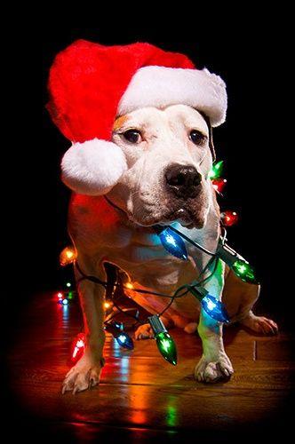 Pit bull Christmas me me Pinterest 332x500