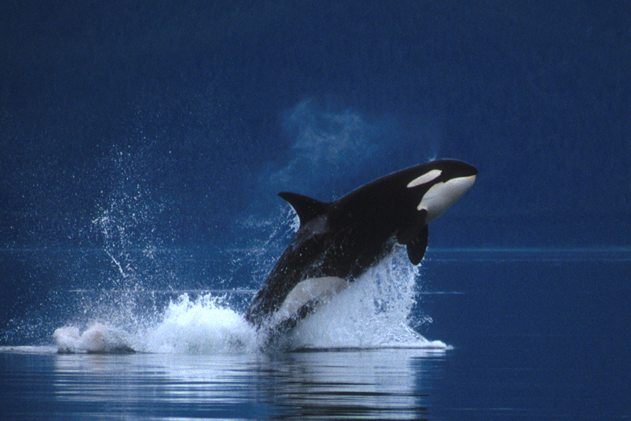 Pics Photos   Orca Whale Wallpaper 1242x828