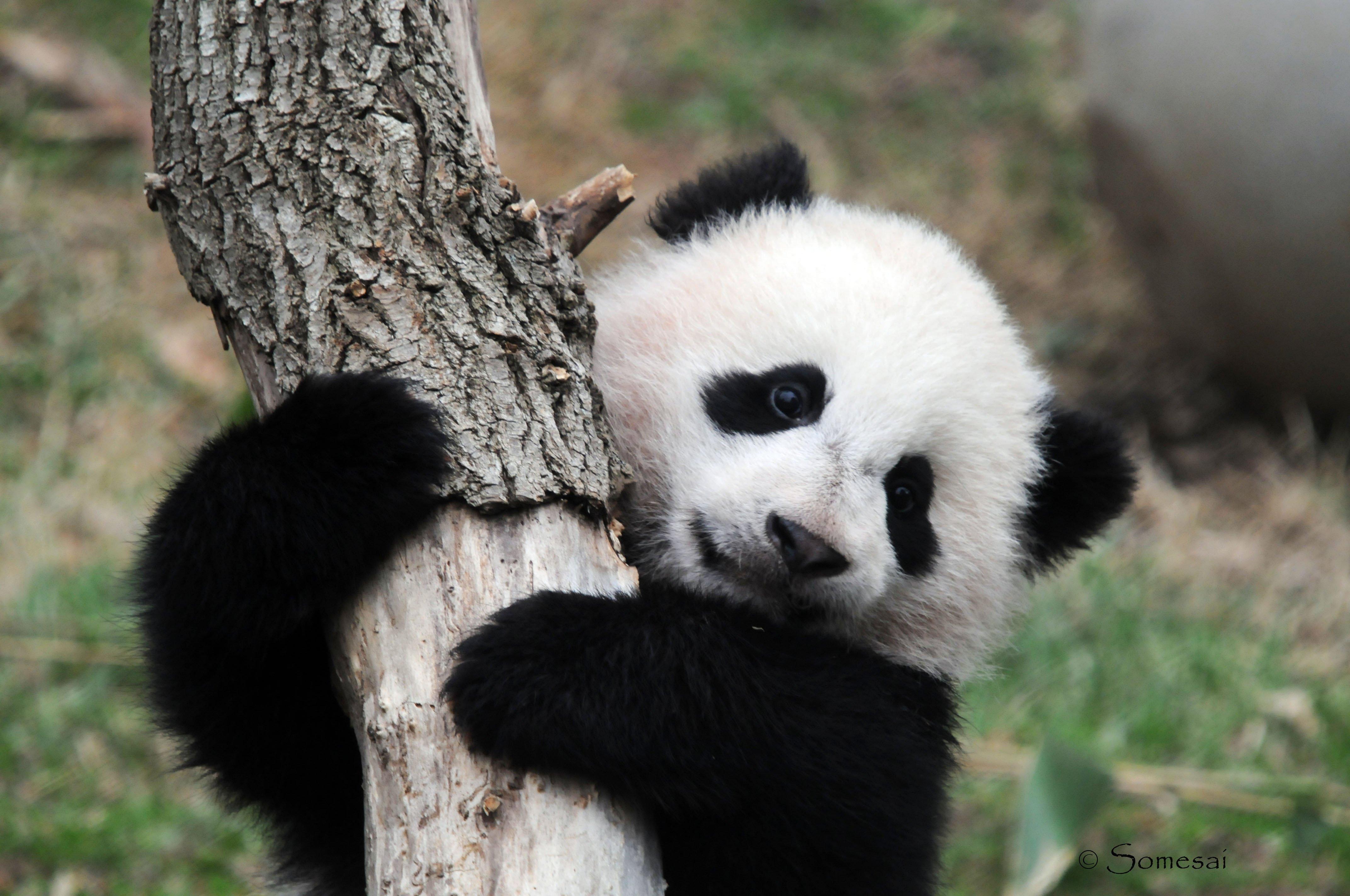 Panda pandas baer bears baby cute 59 wallpaper 4288x2848 364485 4288x2848