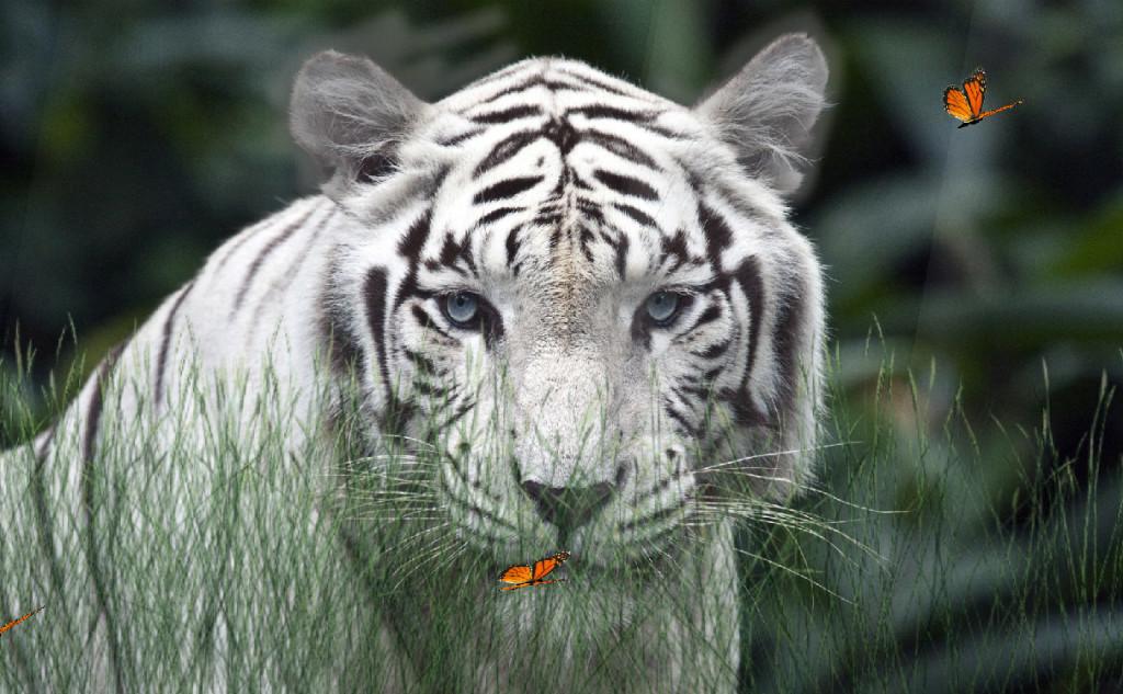 Wild Tigers 1 1024x633jpg 1024x633