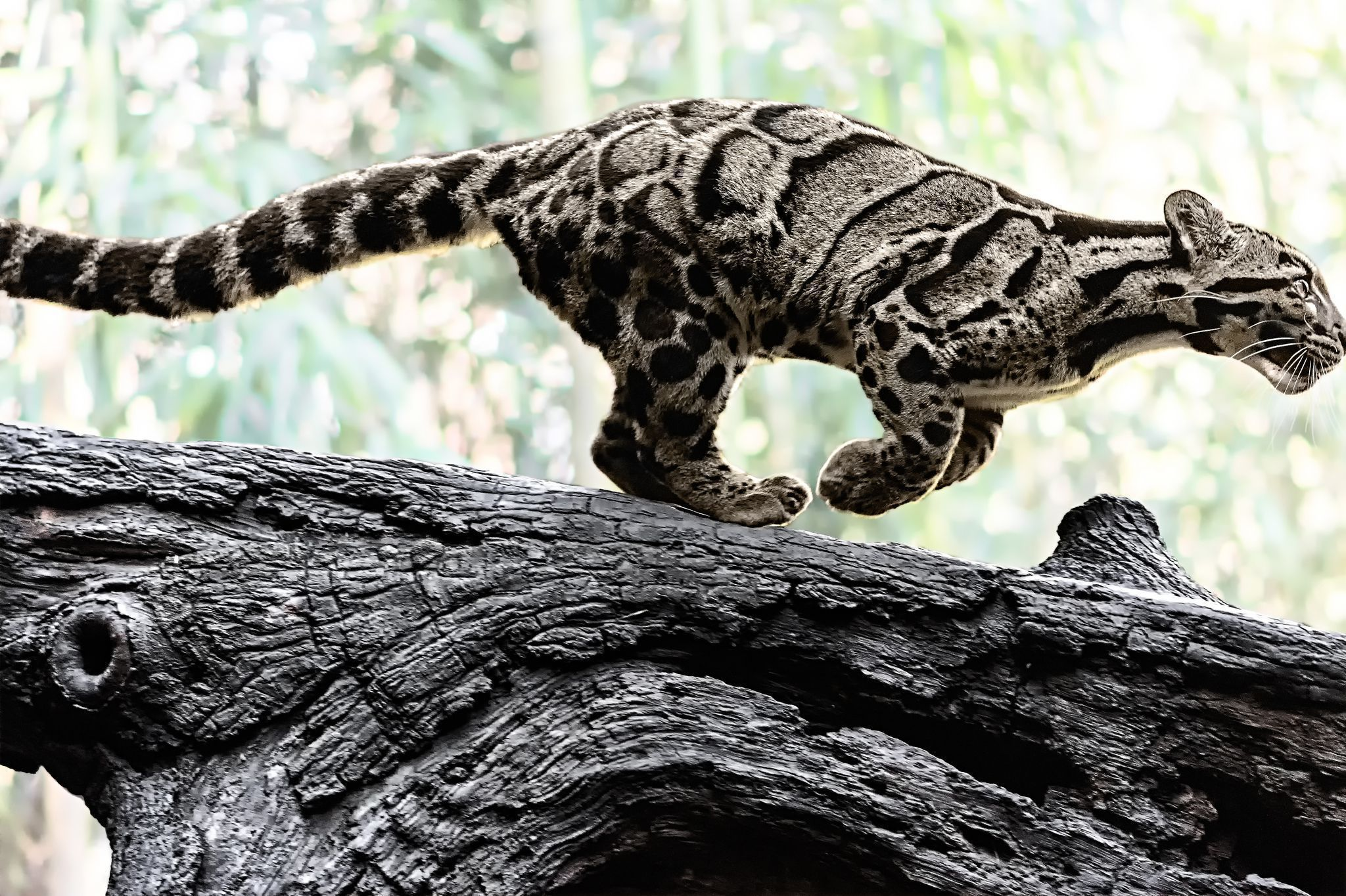 Clouded Leopard Wallpapers Backgrounds 2048x1365