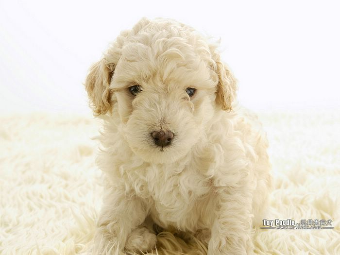 Lovable Toy Poodle Puppy Curly Coat Miniature Poodle Wallpaper 13 700x525