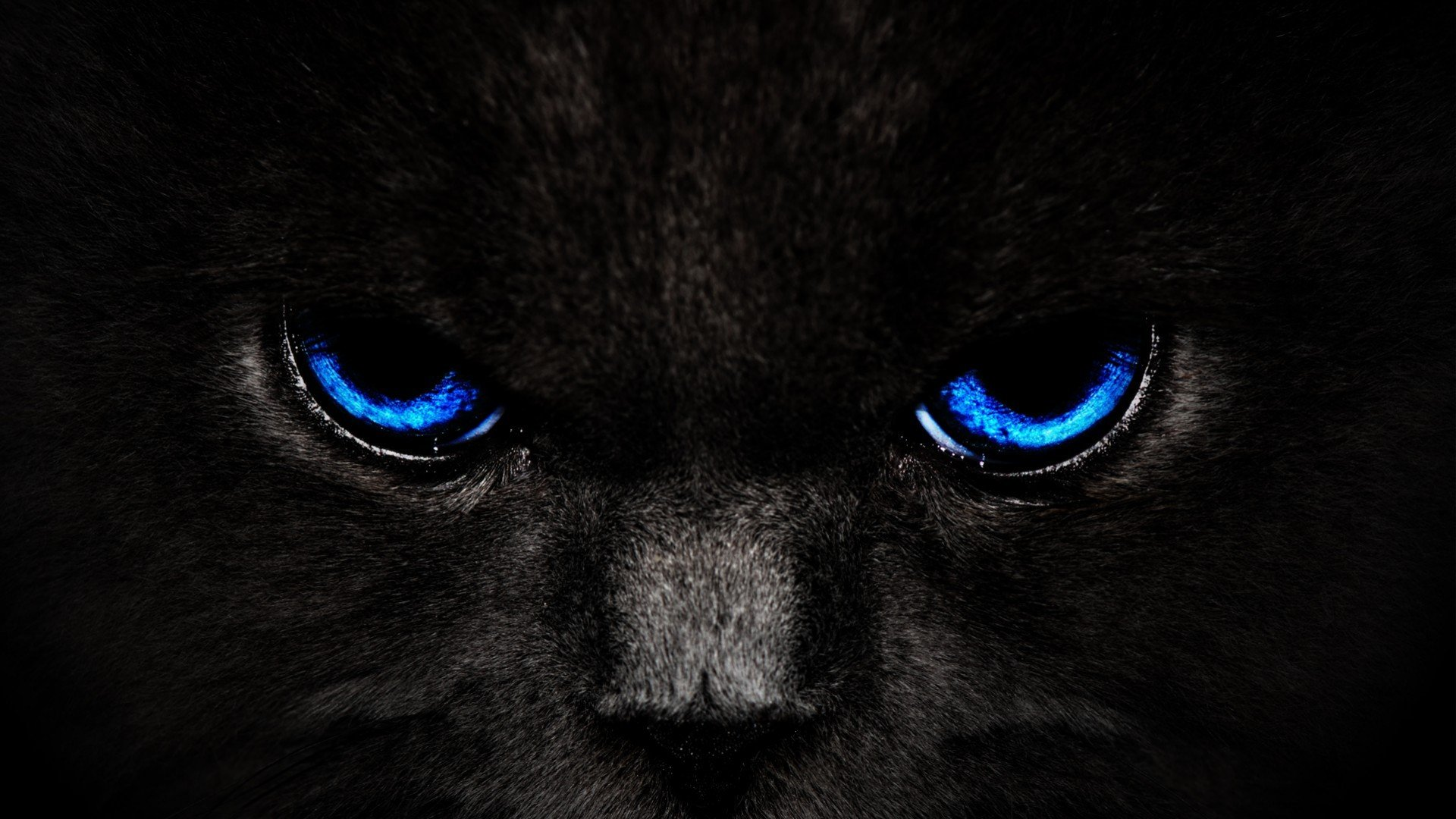 Animals Blue Eyes Cats Awesome Desktop HD Wallpaper 1920x1080
