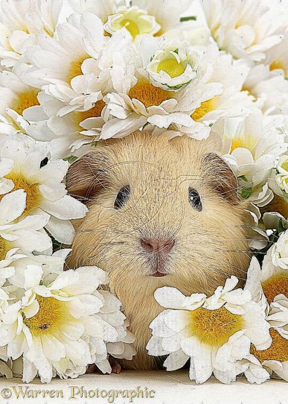 Cute Guinea Pig HD desktop wallpaper High Definition 571x800