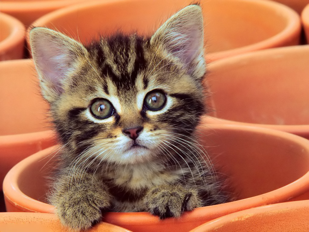 Curious Kitten Desktop Wallpaper High Quality Wallpapers 1024x768