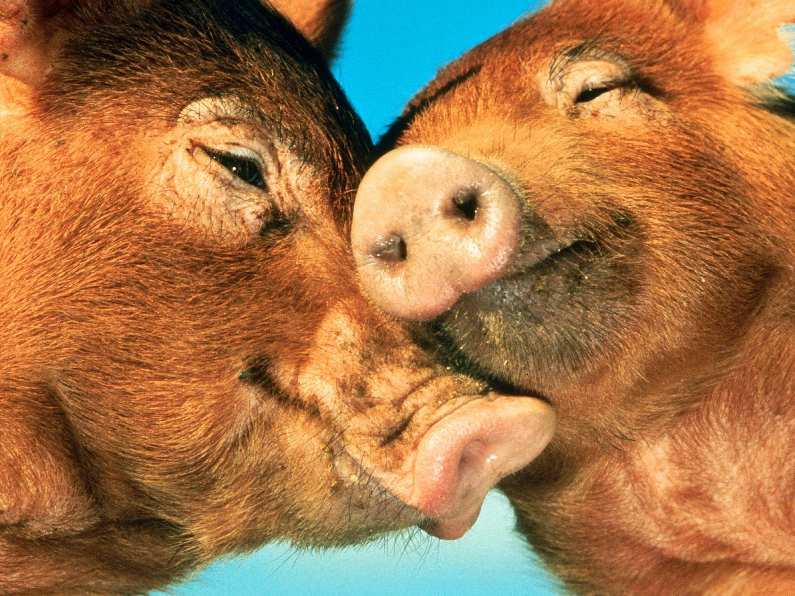 Pig Wallpapers Fun Animals Wiki Videos Pictures Stories 1600x1200