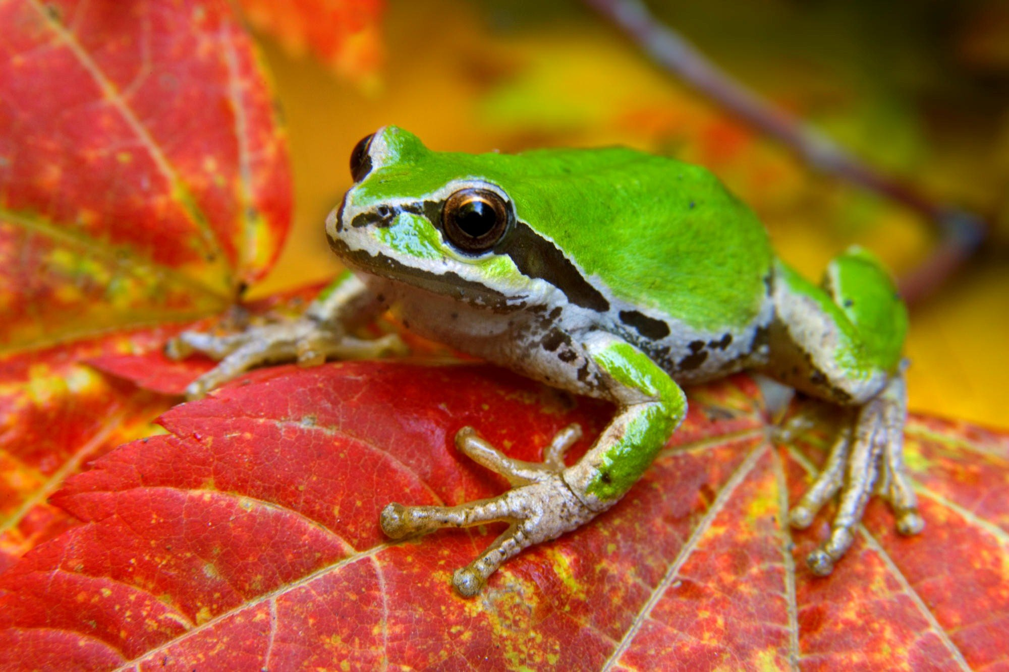 Amphibians Frog Wallpaper HD Wallpapers 2000x1333