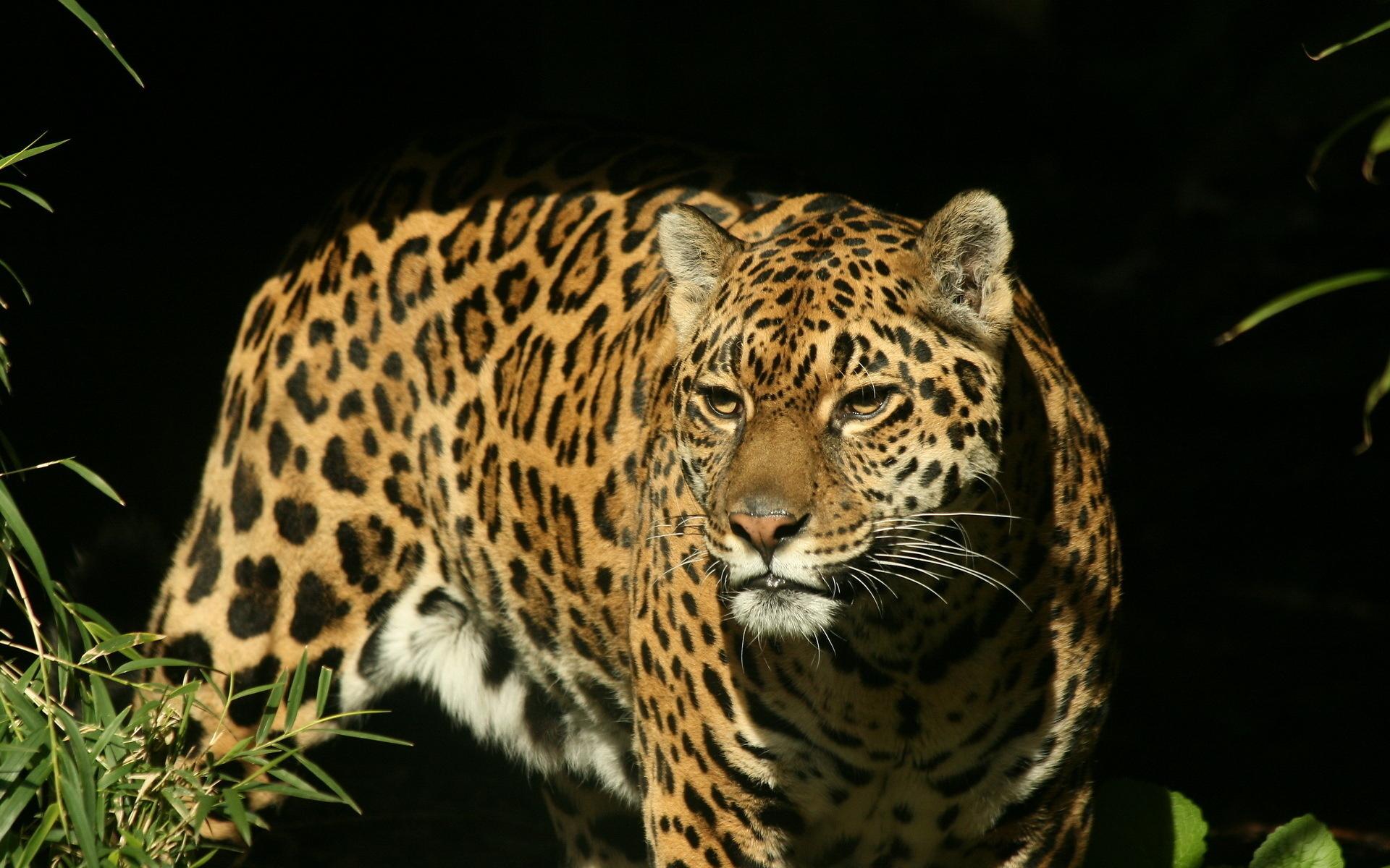 Animals Jaguars Wallpapers Hd Desktop And Mobile: Jaguar Wallpaper Animal