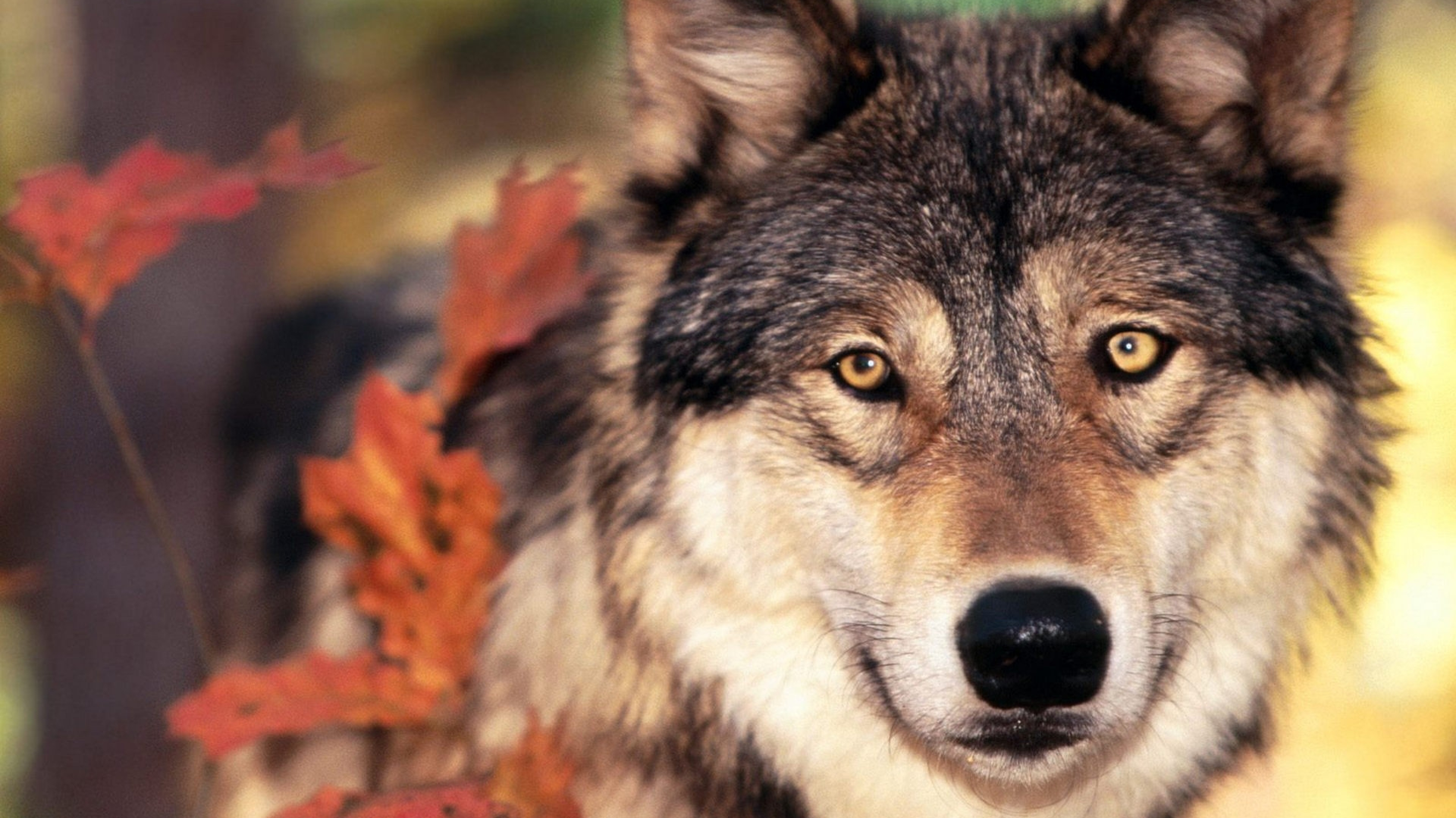 Download Wallpaper 3840x2160 Wolf Grass Leaves face Eyes 4K Ultra 3840x2160