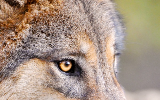 Predator Wolf Face click to view 620x390