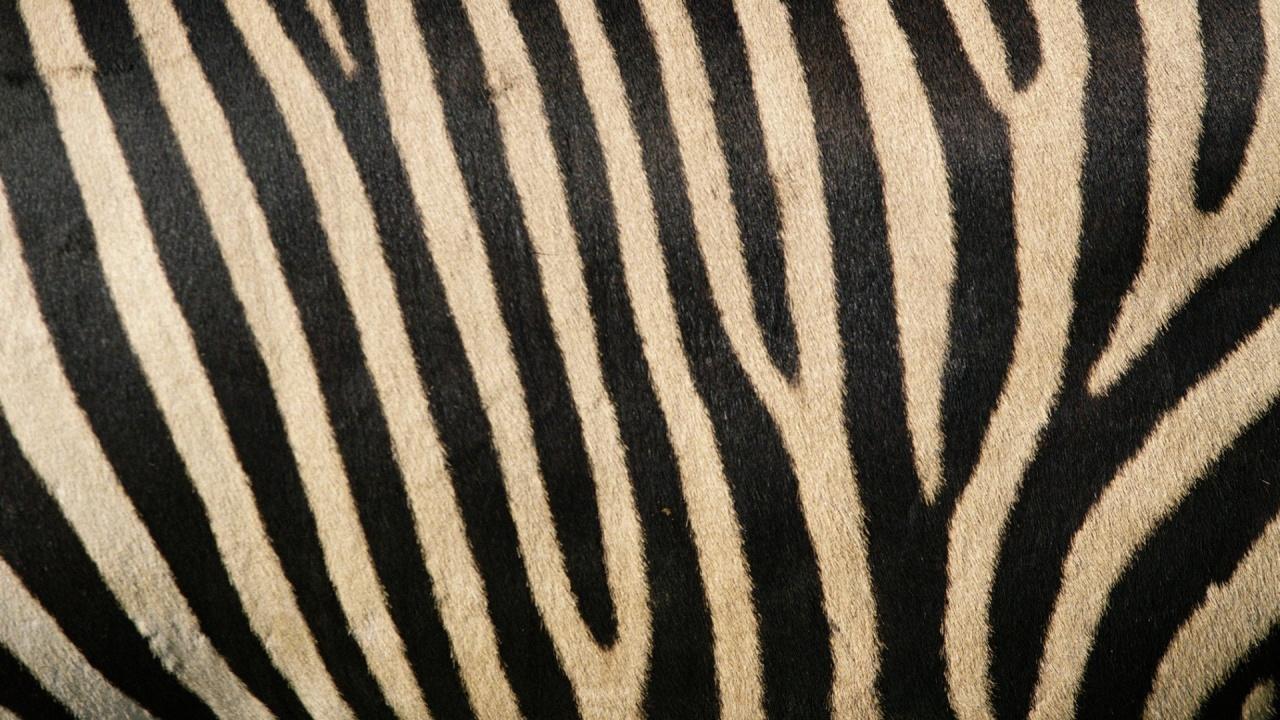 1280x720 Zebra stripes desktop PC and Mac wallpaper 1280x720