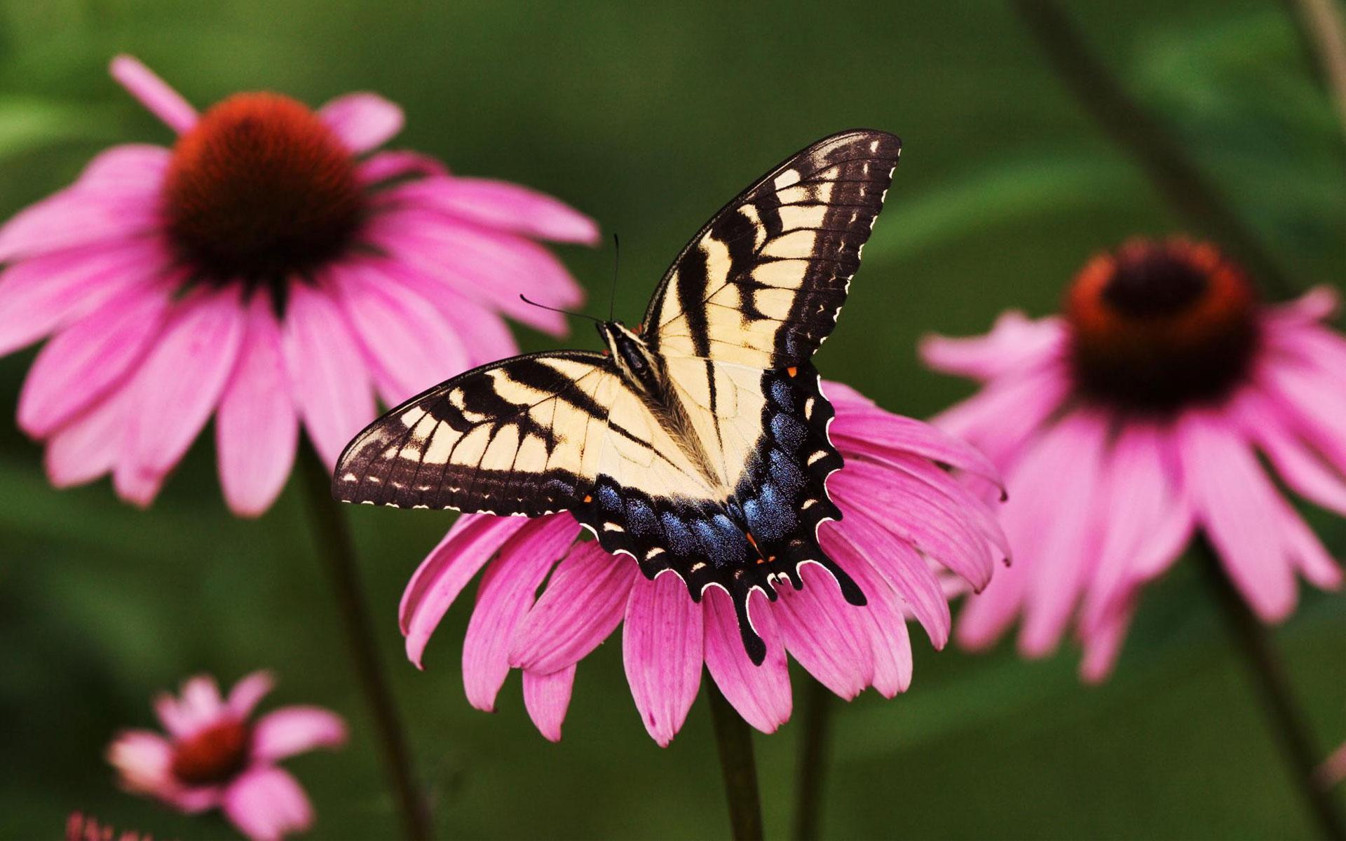 Tiger Swallowtail Butterfly Purple Coneflower Wallpapers HD 1920x1200