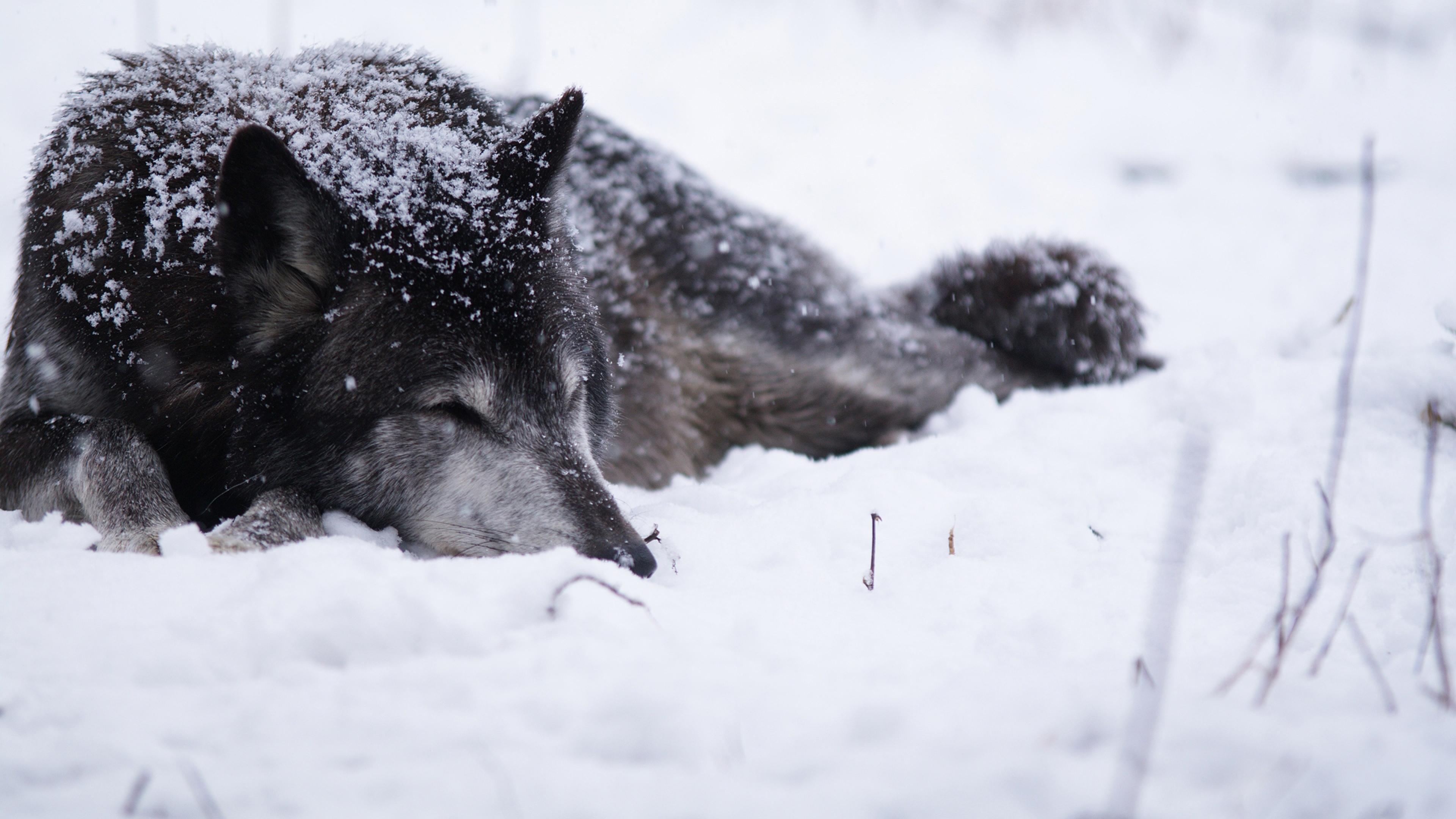 Wolf Snow Blizzard Cold Warm Black white Wallpaper Background 4K 3840x2160