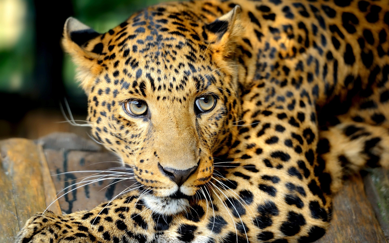 Leopard Wallpaper For Mac ImageBankbiz 2880x1800