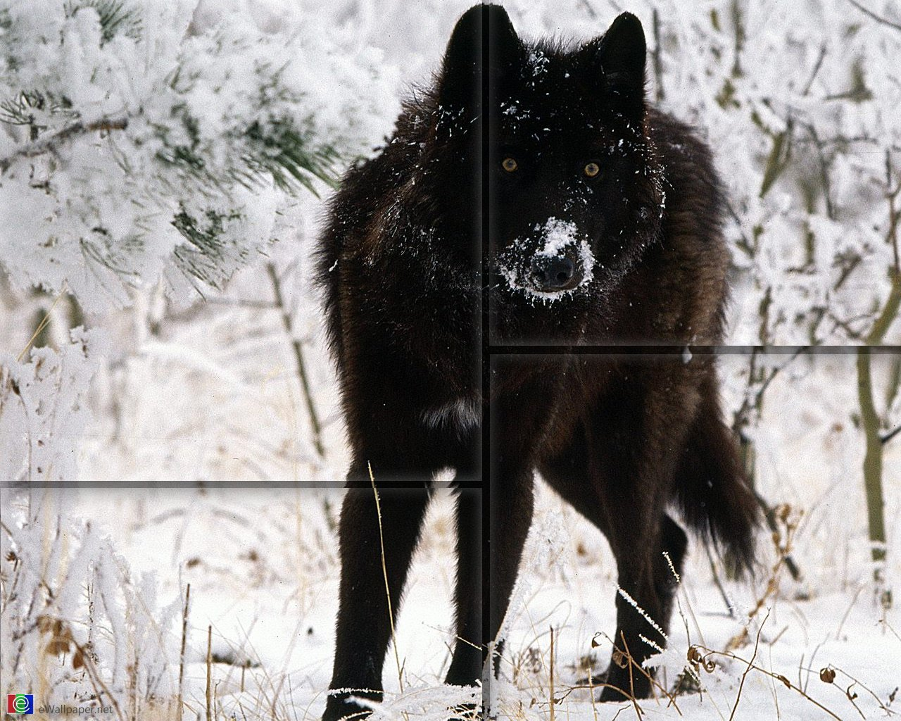 black wolf wallpaper wallpapersafari