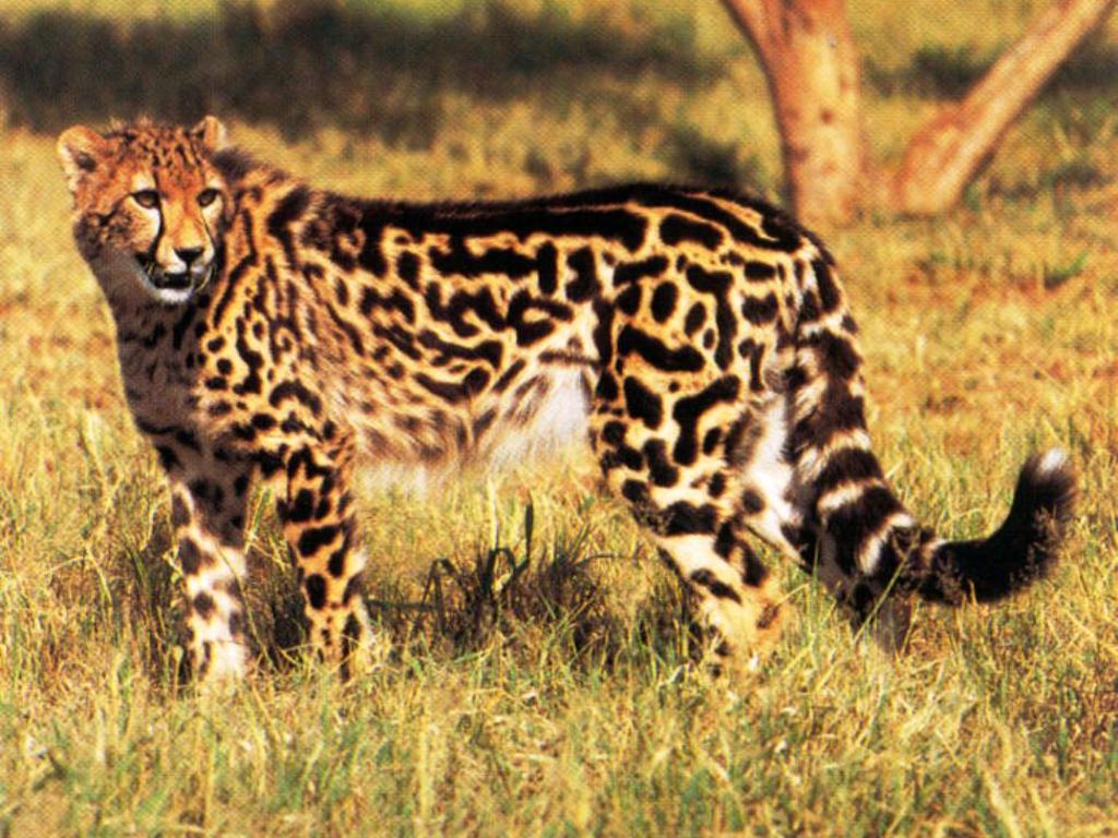 King Cheetah wallpaper ForWallpapercom 1024x768