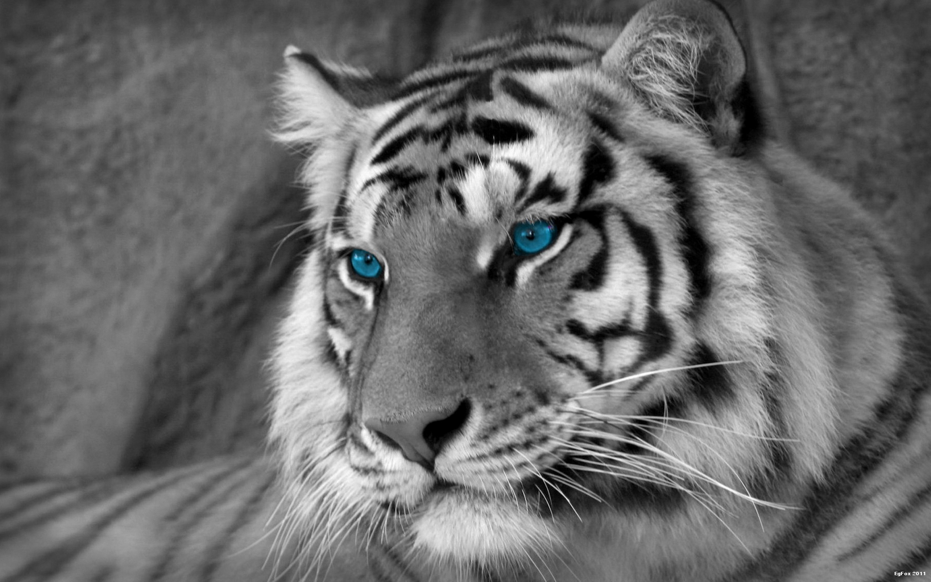 Wallpapers HD Iphone White Tigers Tiger White Lion Hd Full Hd Pics 1920x1200
