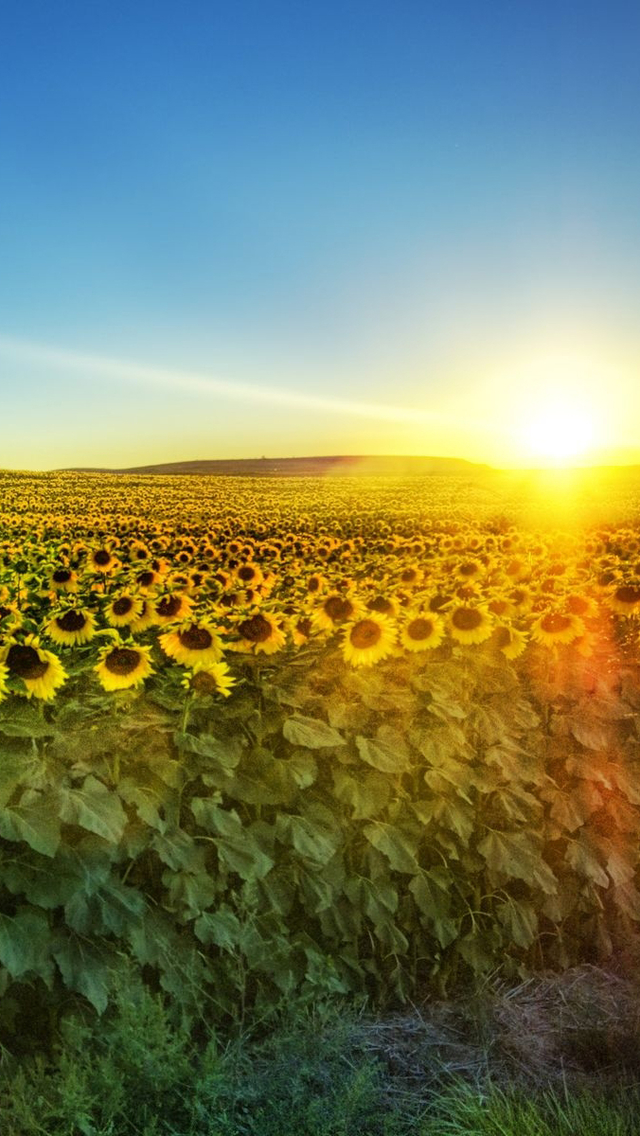 Fields of Sunflowers Wallpaper   iPhone Wallpapers 640x1136
