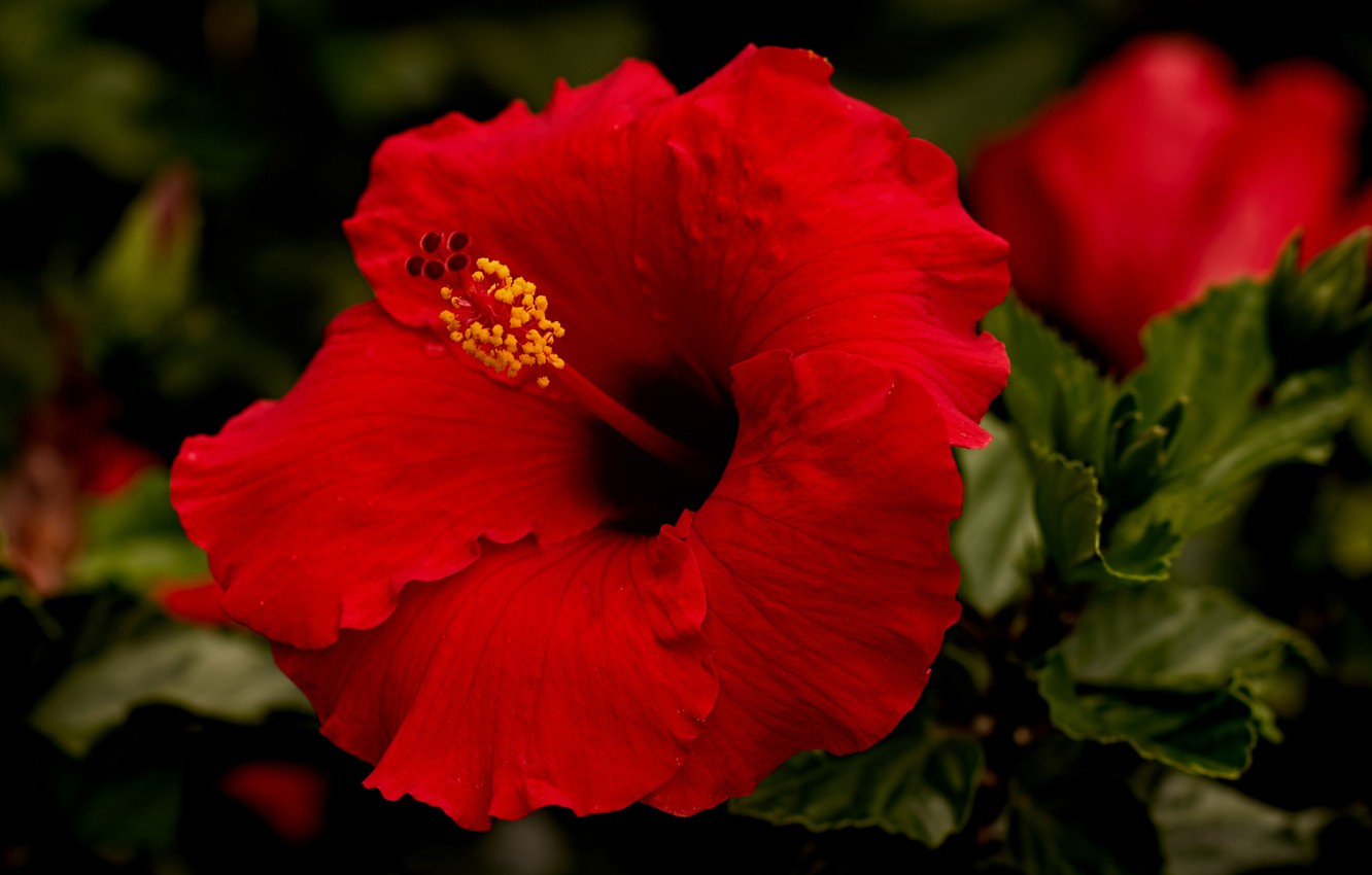 Wallpaper macro red hibiscus images for desktop section 1332x850