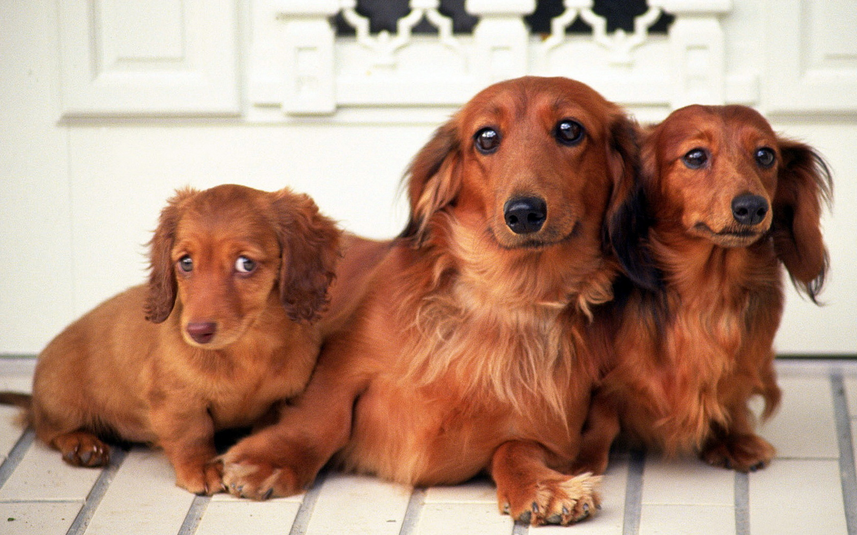 Family of dachshunds wallpapers and images wallpapers pictures 1680x1050